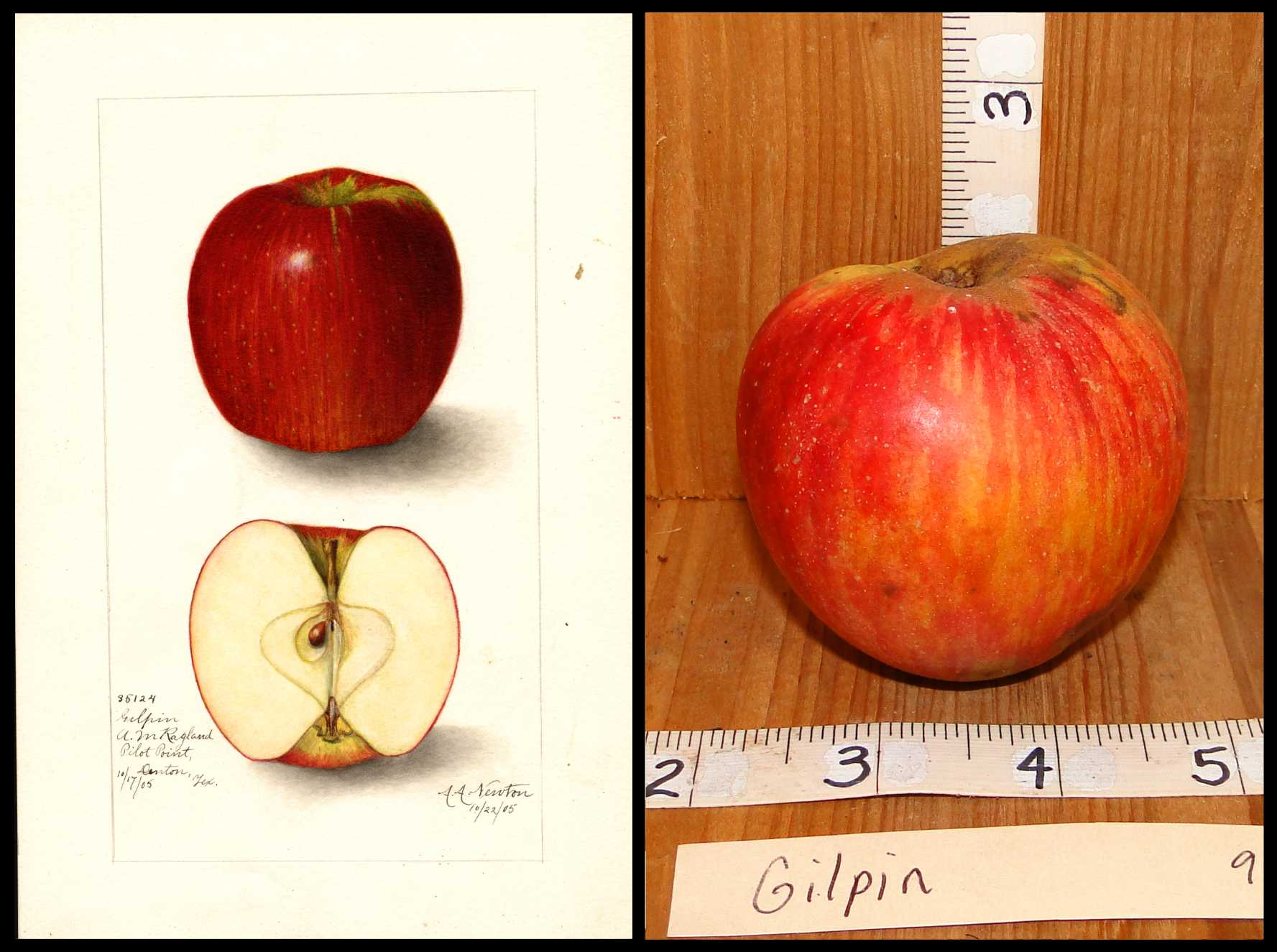 red apple with faint yellow stripes and small white dots