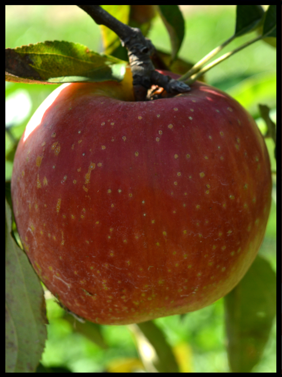 red apple in a tree with many small to medium sized tan dots