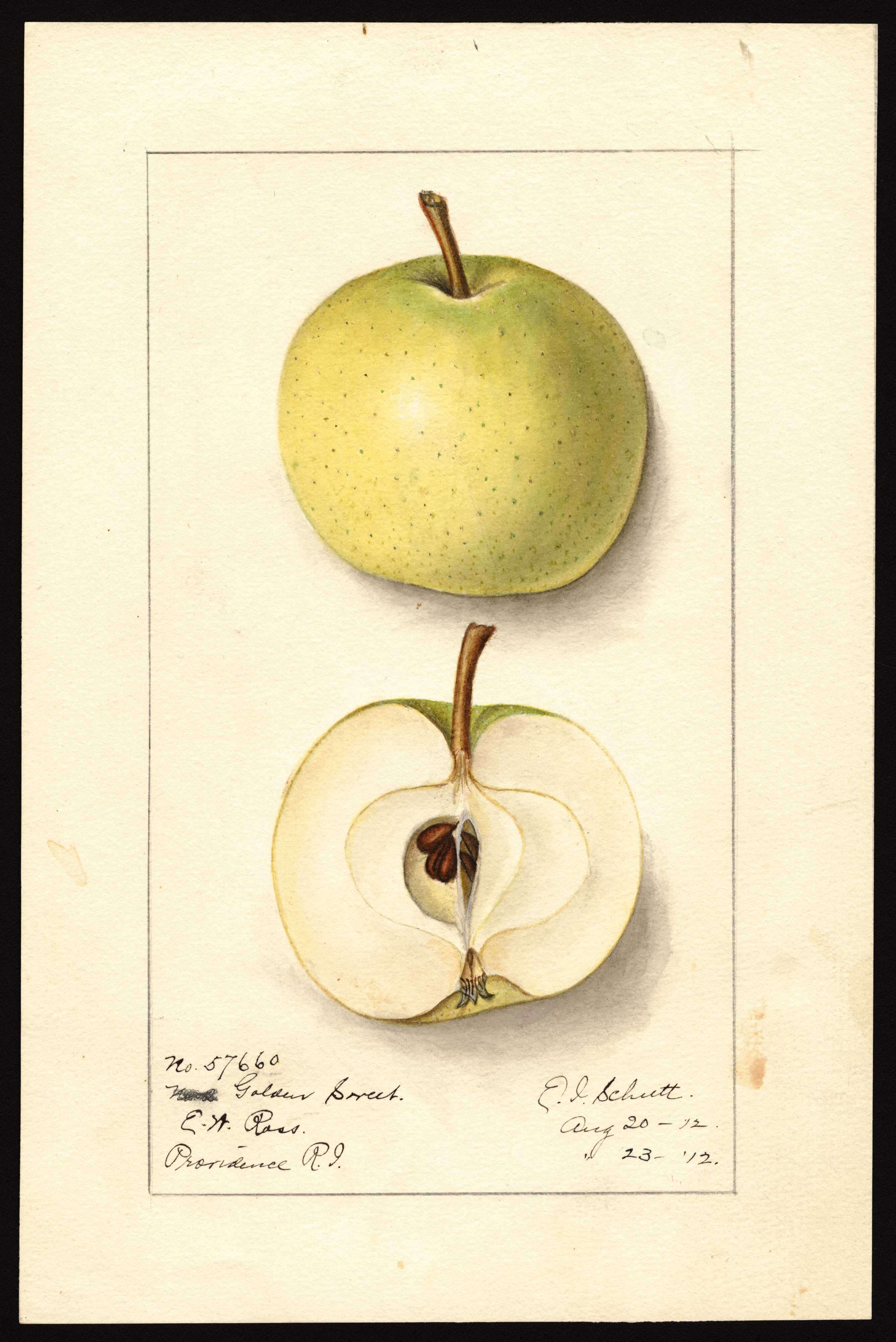 watercolor of a yellowish green apple with small brown dots