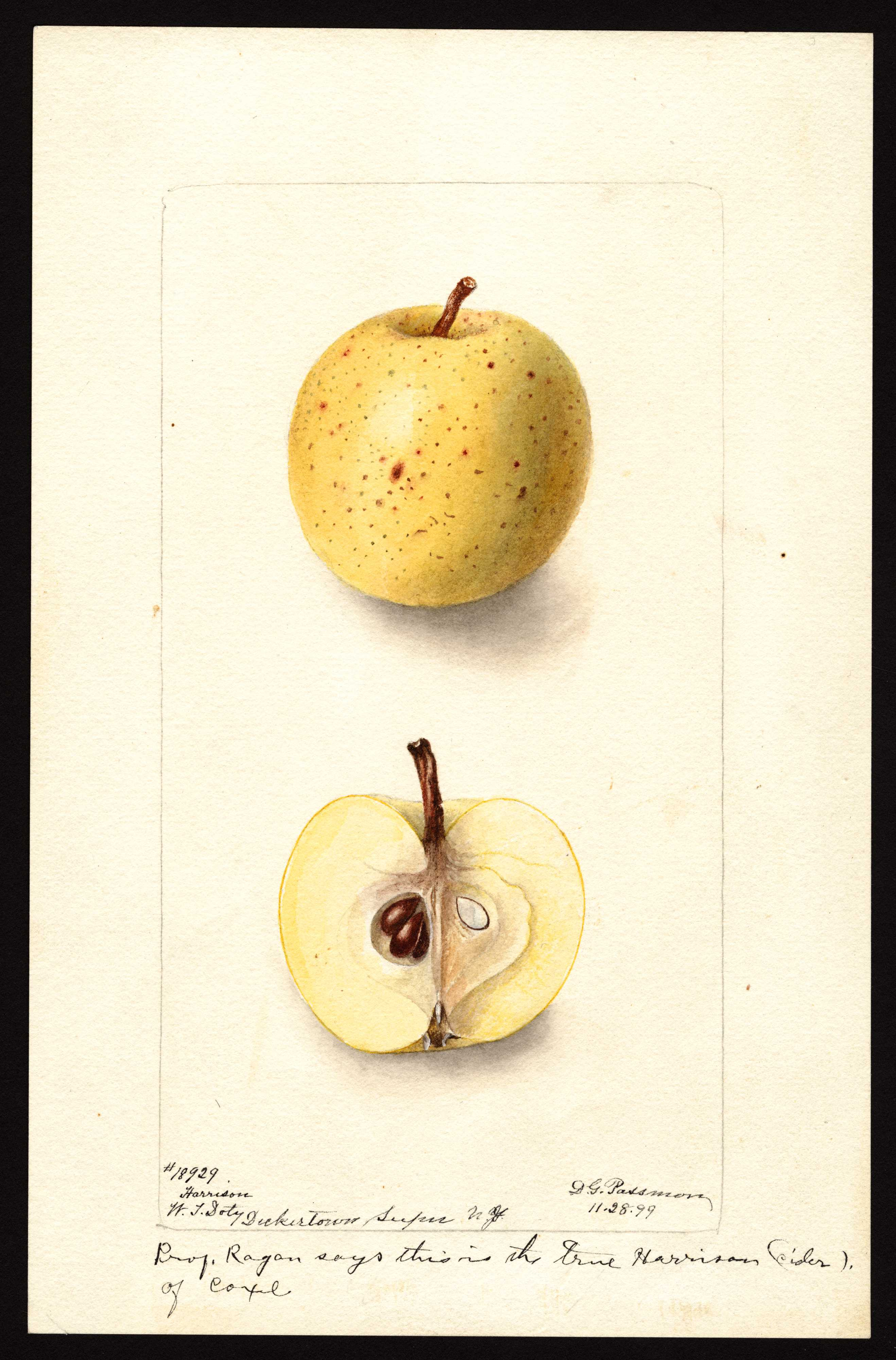watercolor of a small yellow apple with brown spots varying in size from small to large