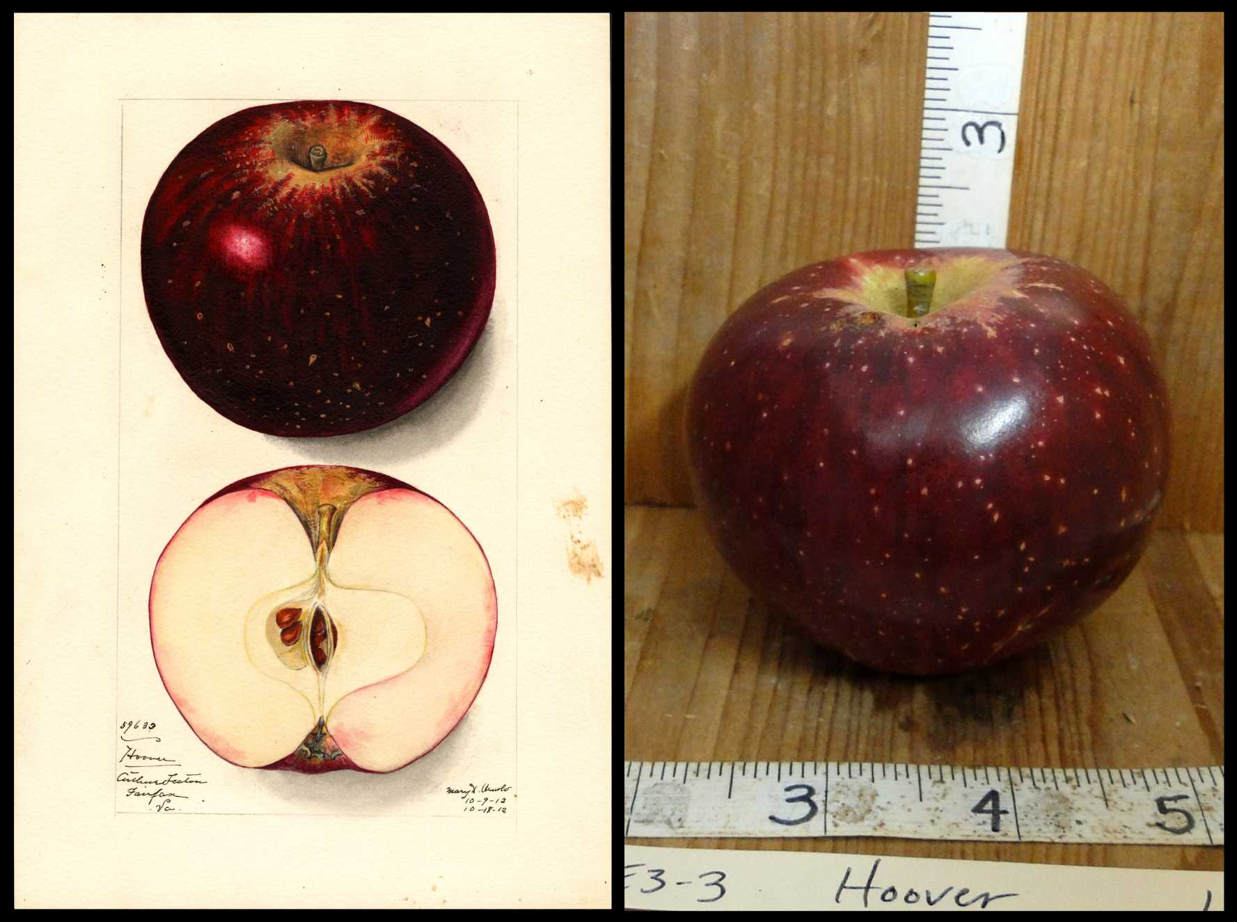dark red apple with almost black stripes and small white spots