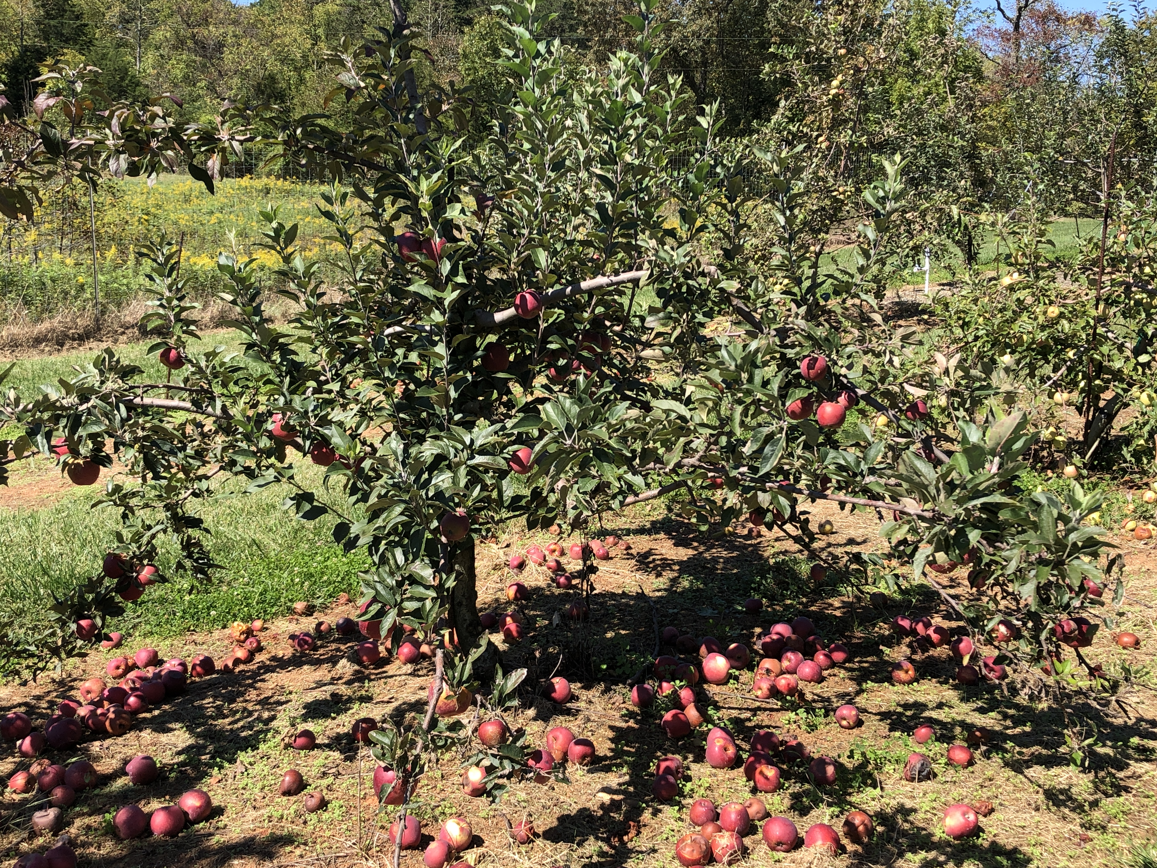 An apple tree with red apples on the branches and on the ground under the tree