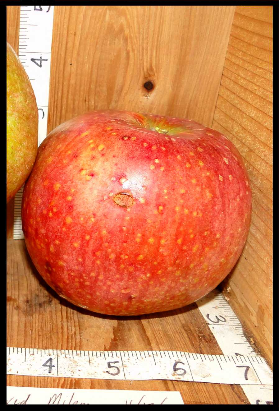 shiny red apple with a yellow undertone and medium yellow spots