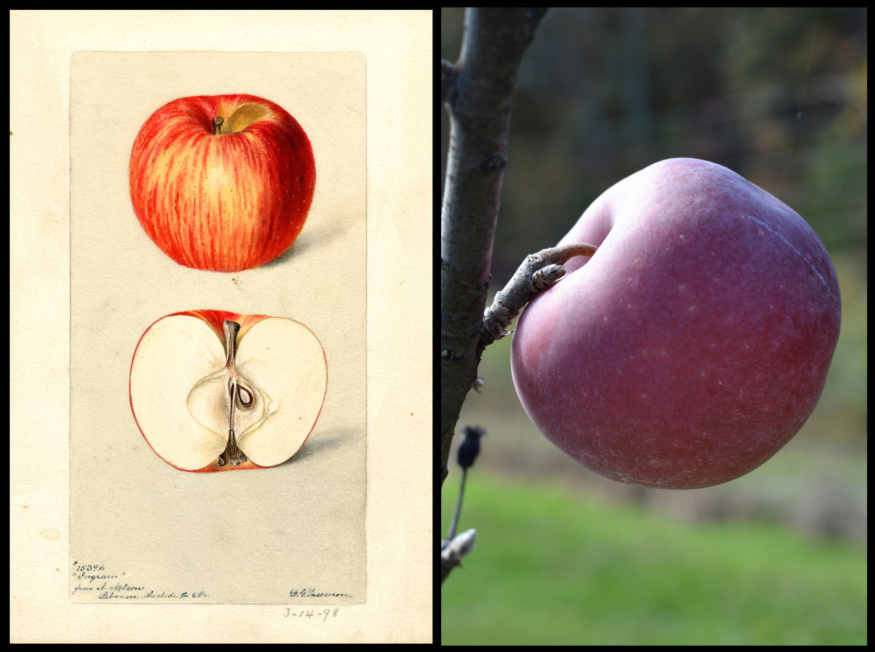 red apple with small white spots. Entire fruit covered with a white haze.