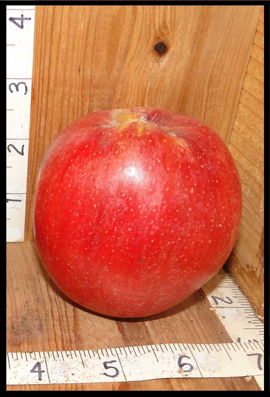 round red apple