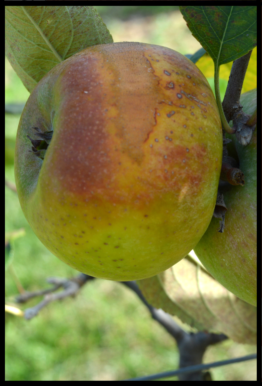 yellow apple with red and rough tan blush and splotches
