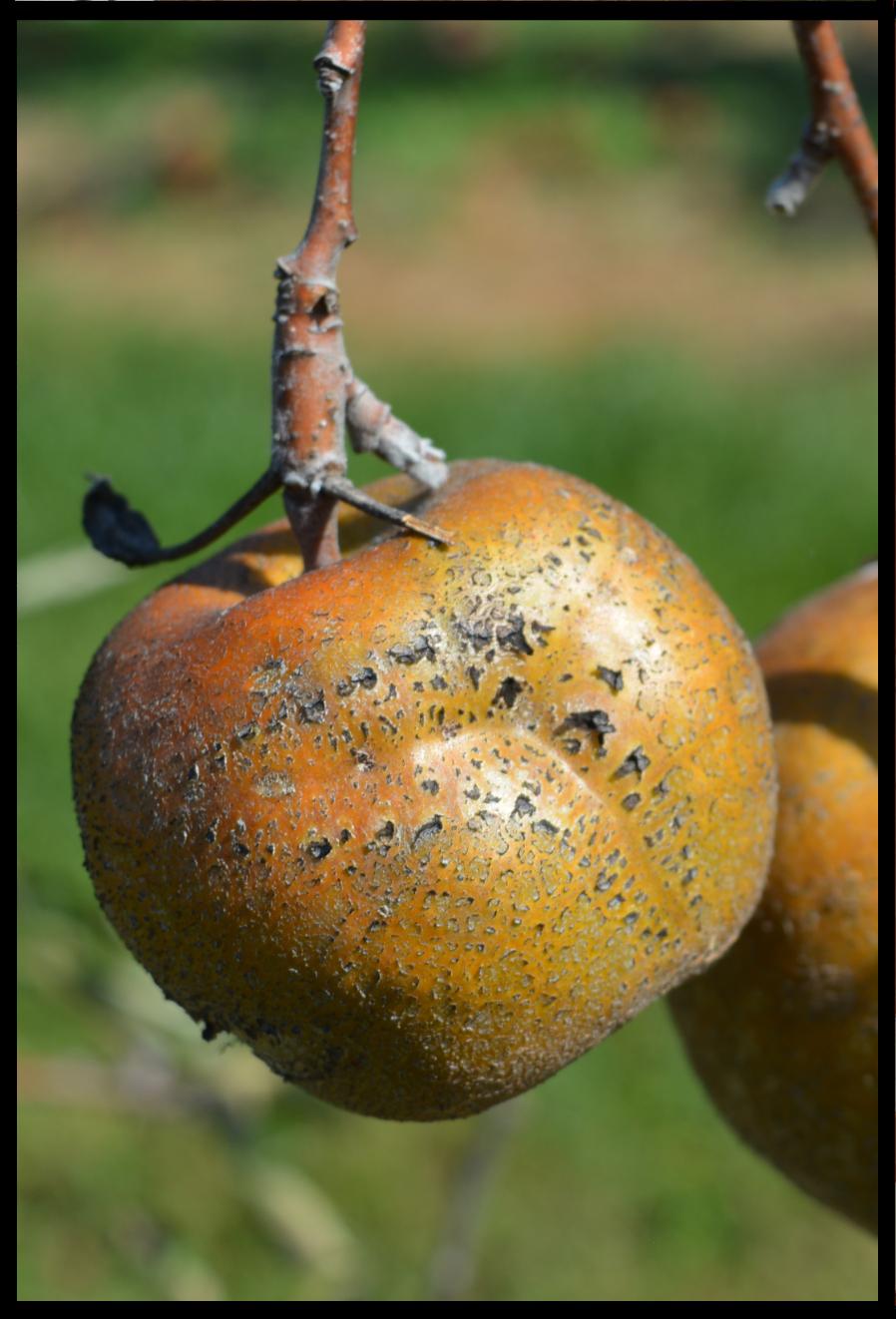 rough brown apple with some orange blush