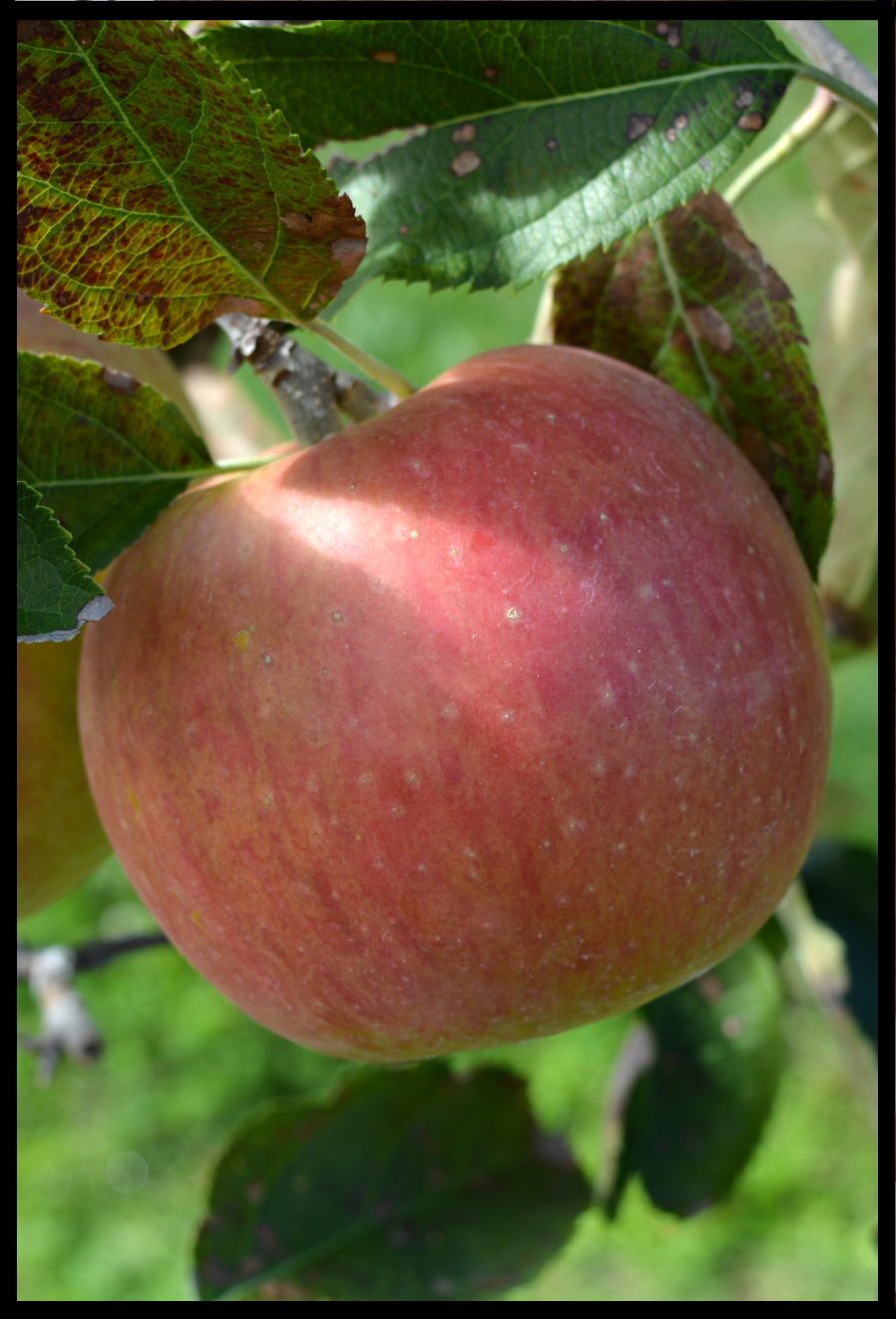 red apple with darker red splotches and small white spots