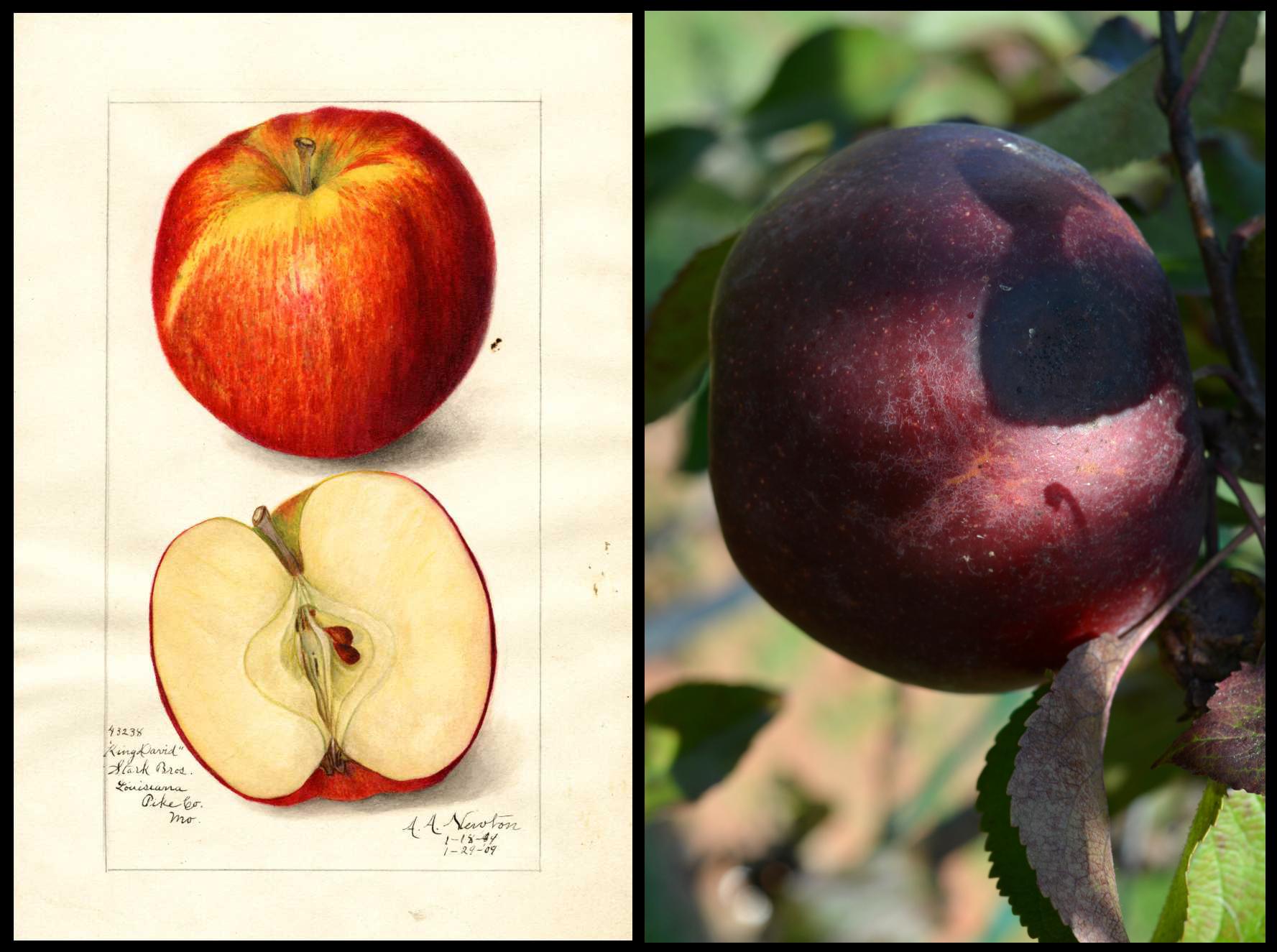 dark red, almost purple, apple