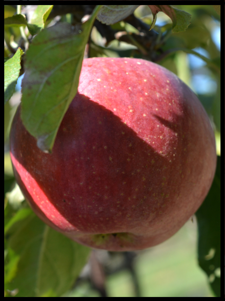 red apple with small yellow spots