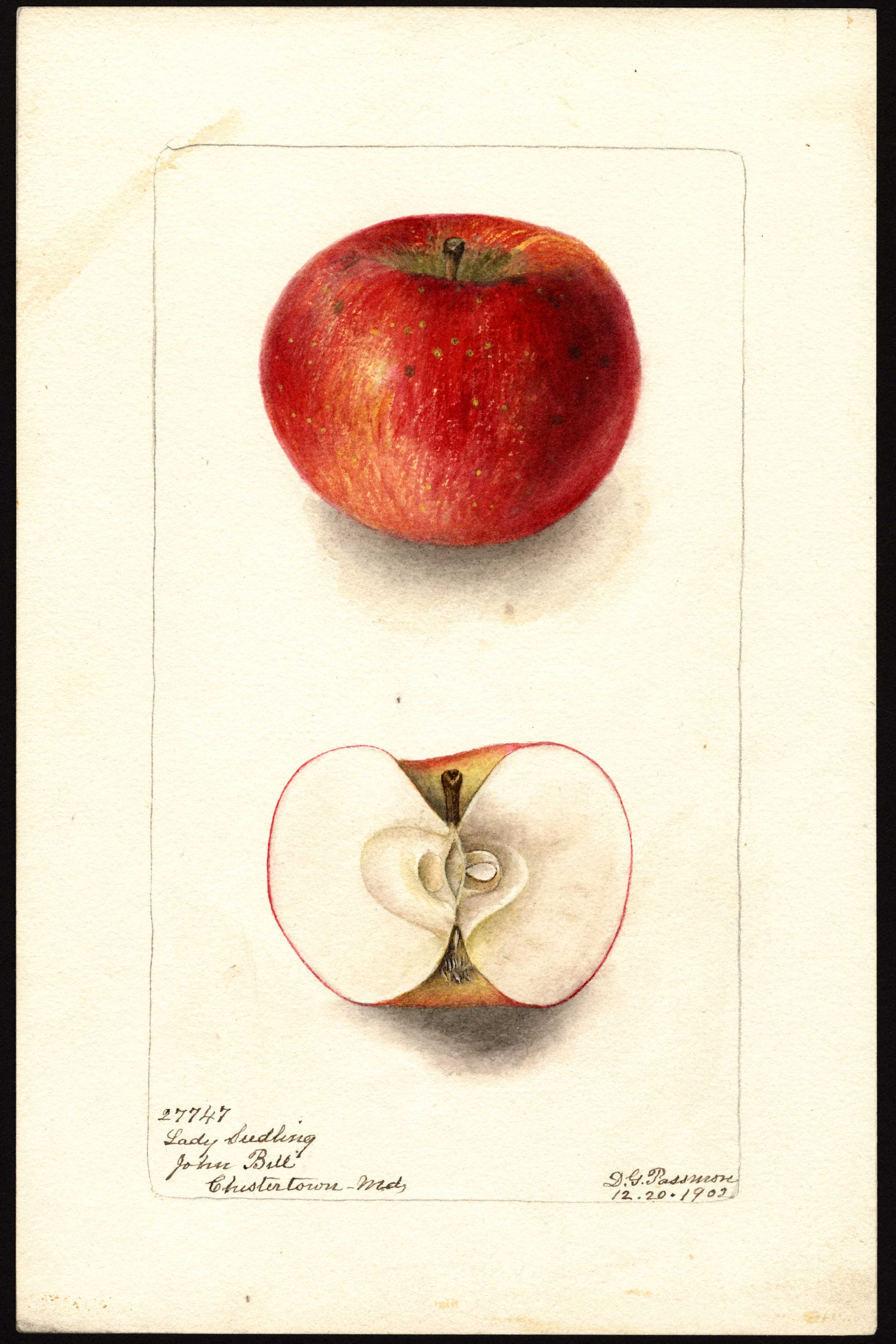 watercolor of a red apple with yellow streaks