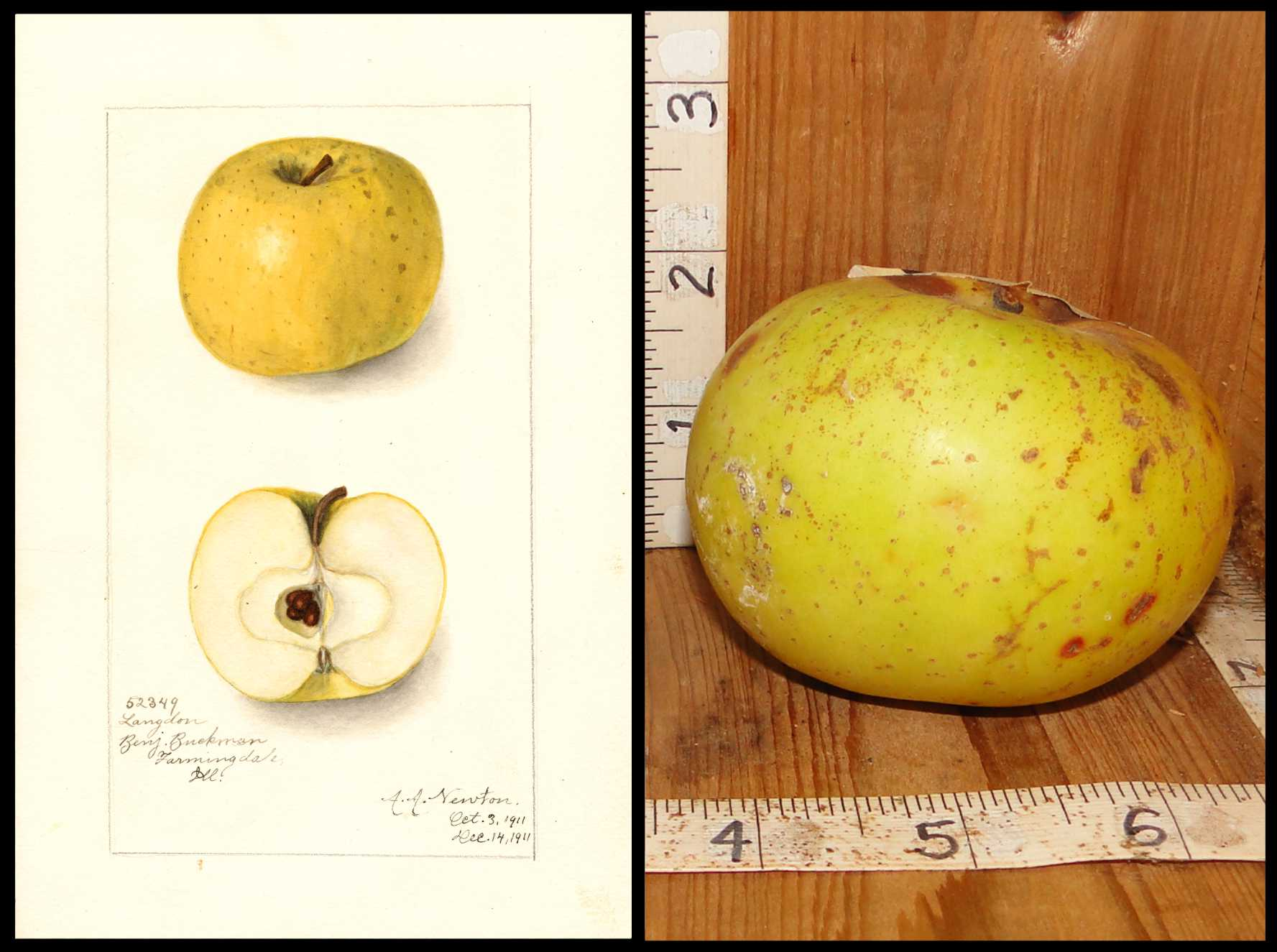 yellow apple with rough brown medium sized spots