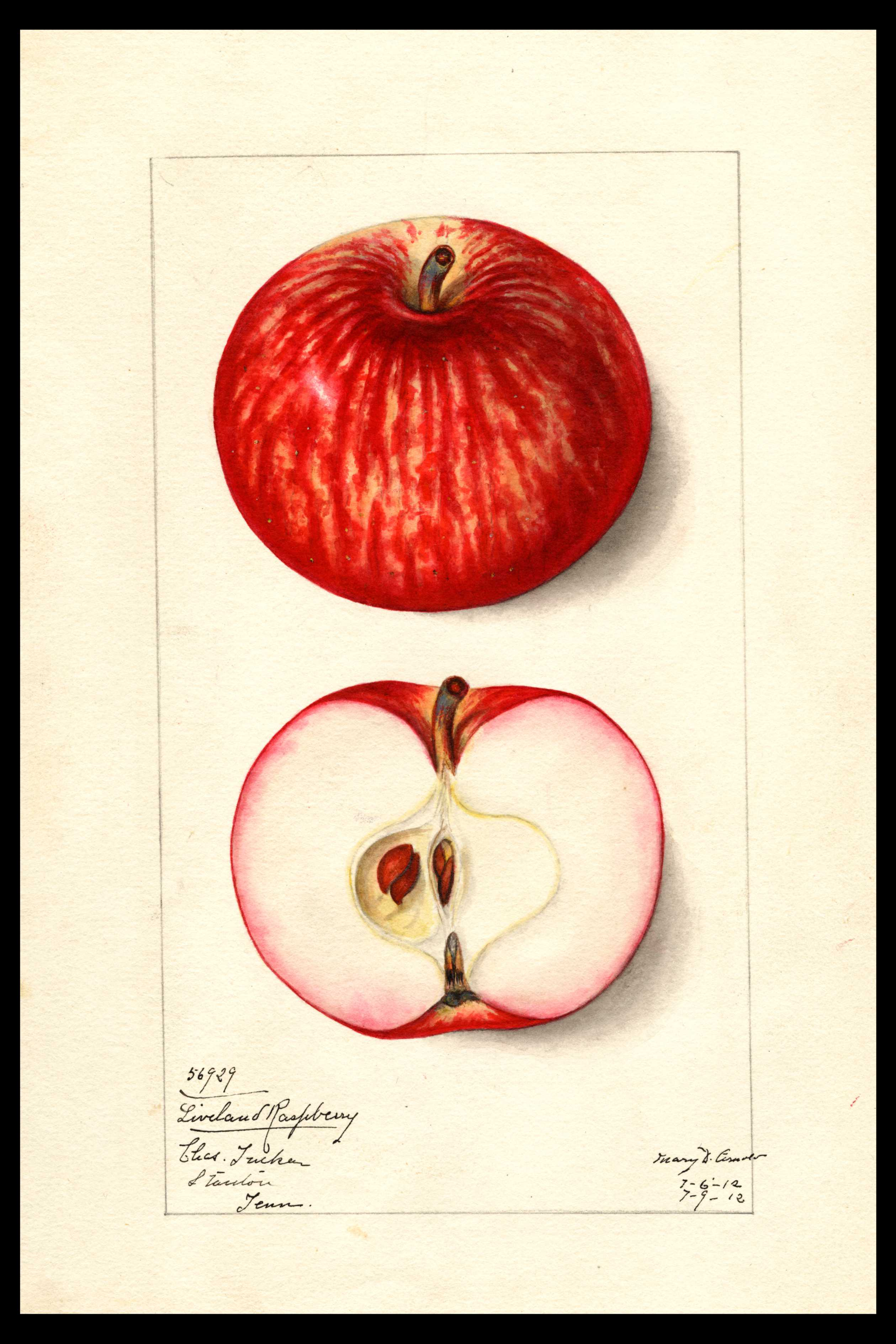 yellow apple with bright red stripes