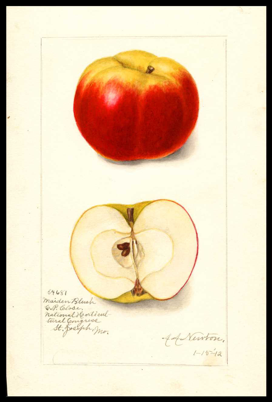 watercolor of a red apple that is yellow at the stem end