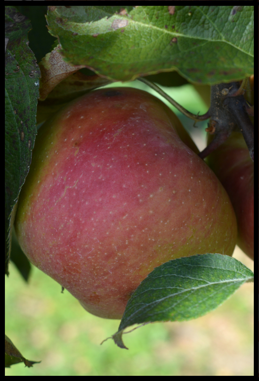 green apple in a tree with light red blush where not covered by leaves