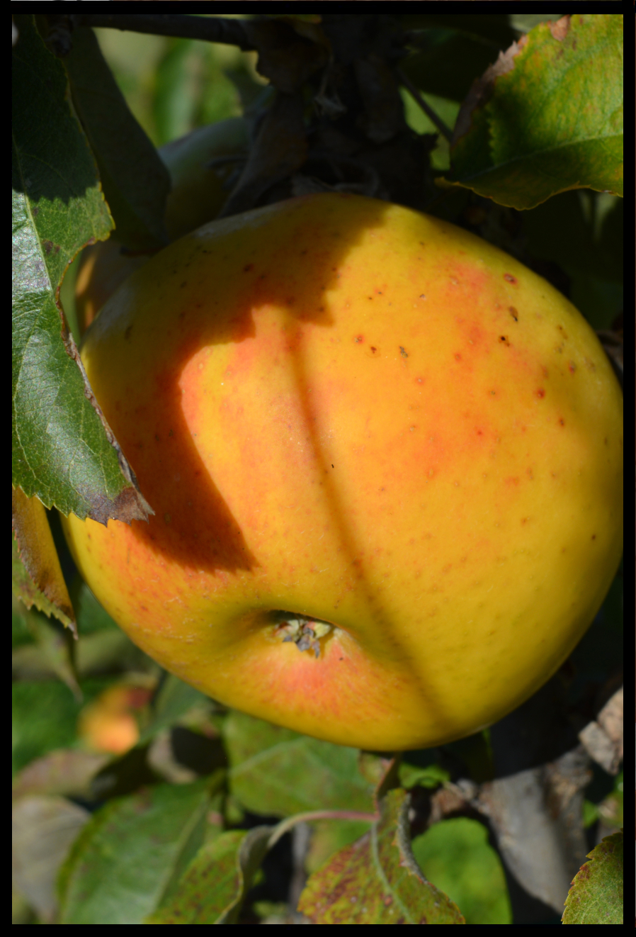 yellow apple in a tree with an orangish red blush where the fruit is not protected by leaves