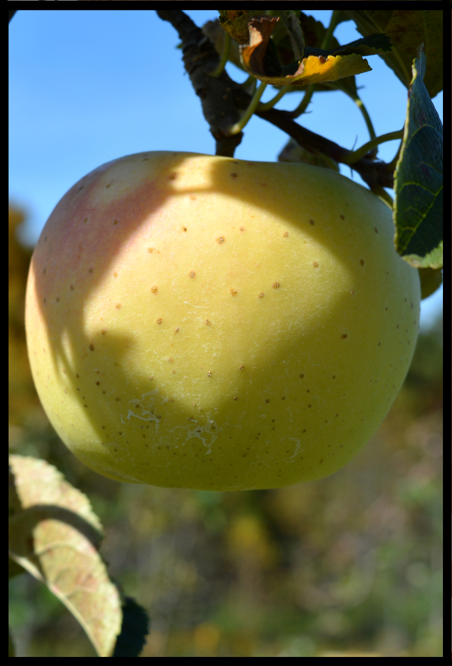 yellow apple with small brown spots and a slight pink blush