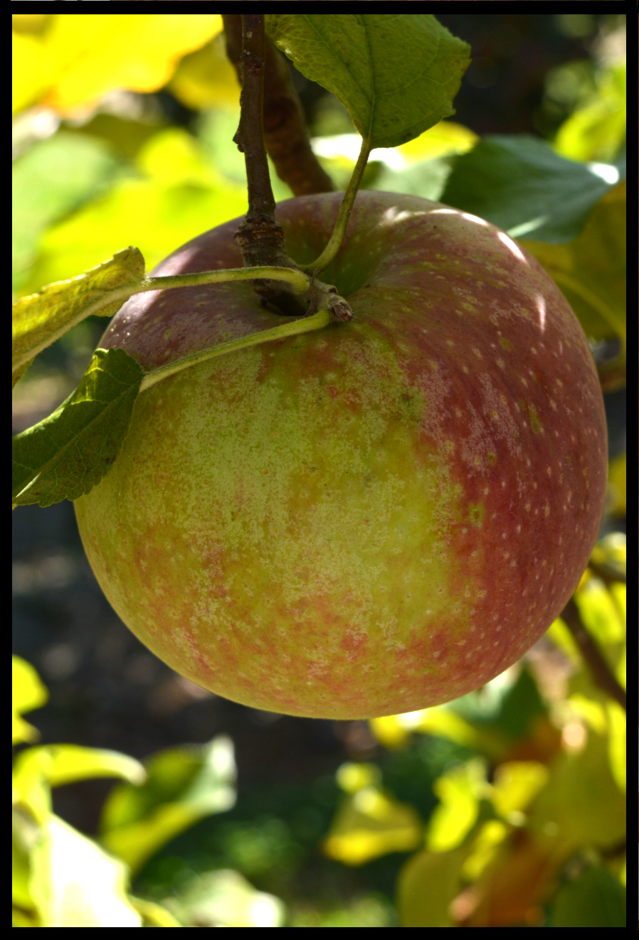 yellow apple nearly entirely covered with red streaks and blush