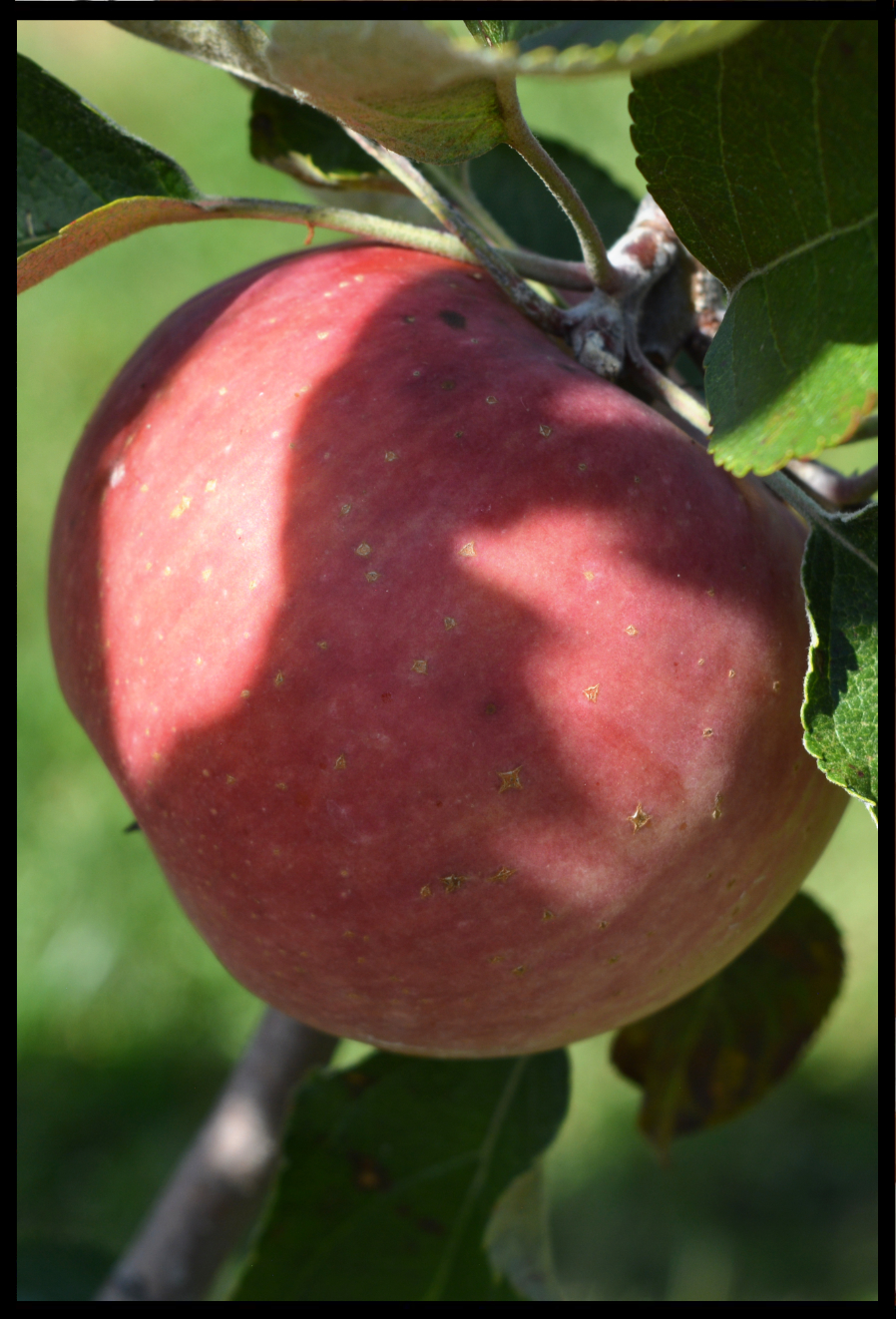 light red apple with small yellow spots