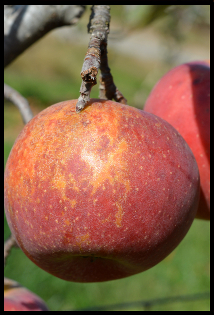 red apple with orangish brown rough skin breaking through in numerous places