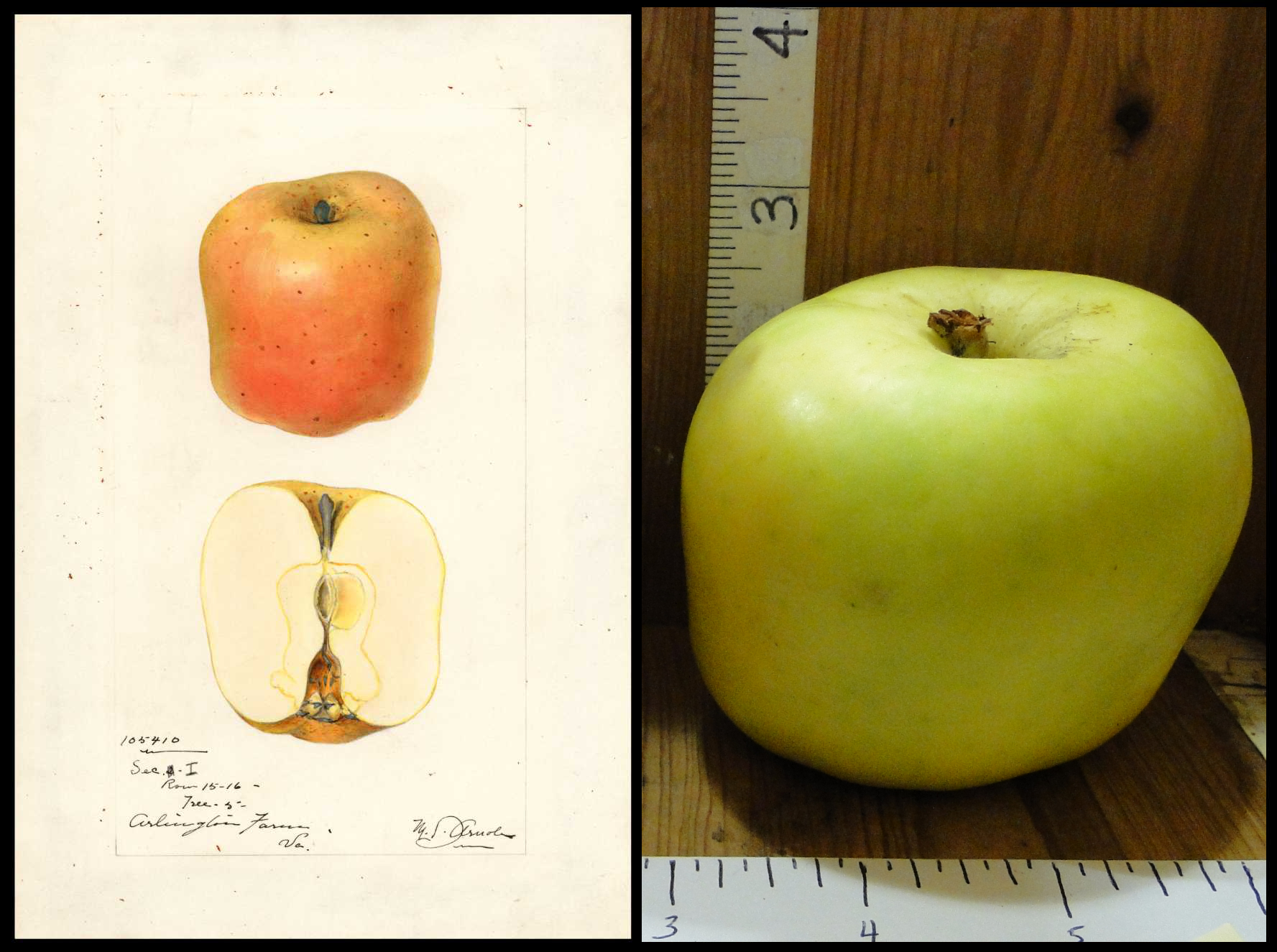 barrel shaped or almost square shaped green apple