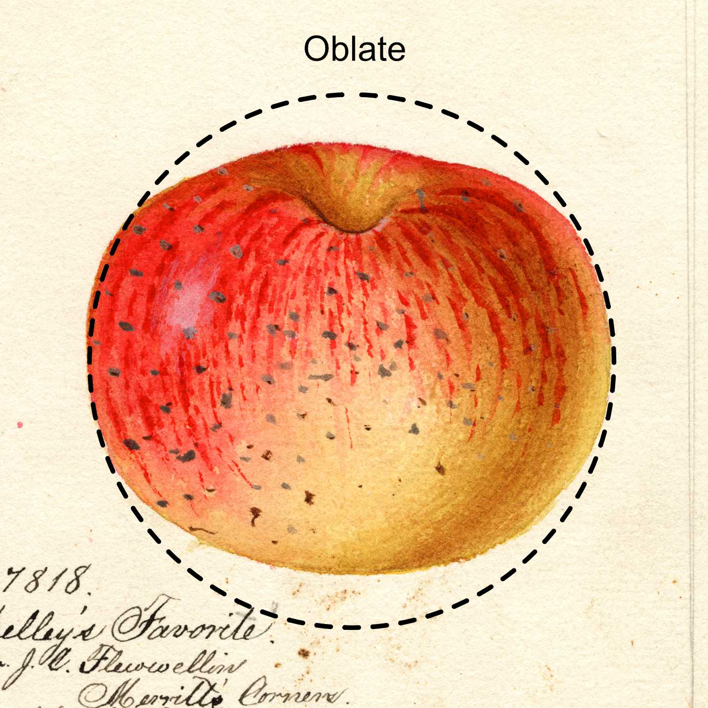 oblate apple -- appears as a flattened circle