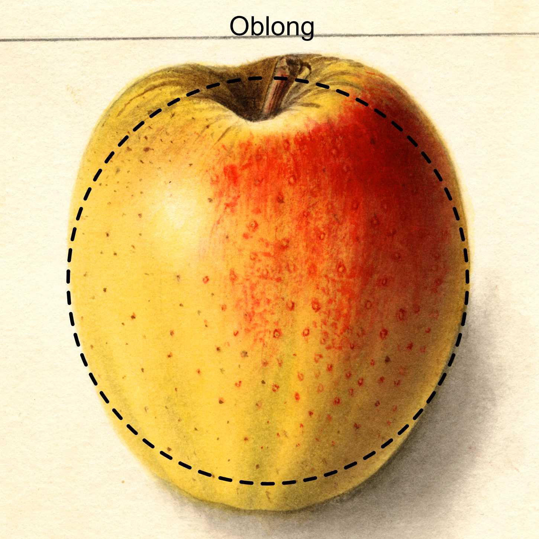 oblong apple - appears as an oval apple
