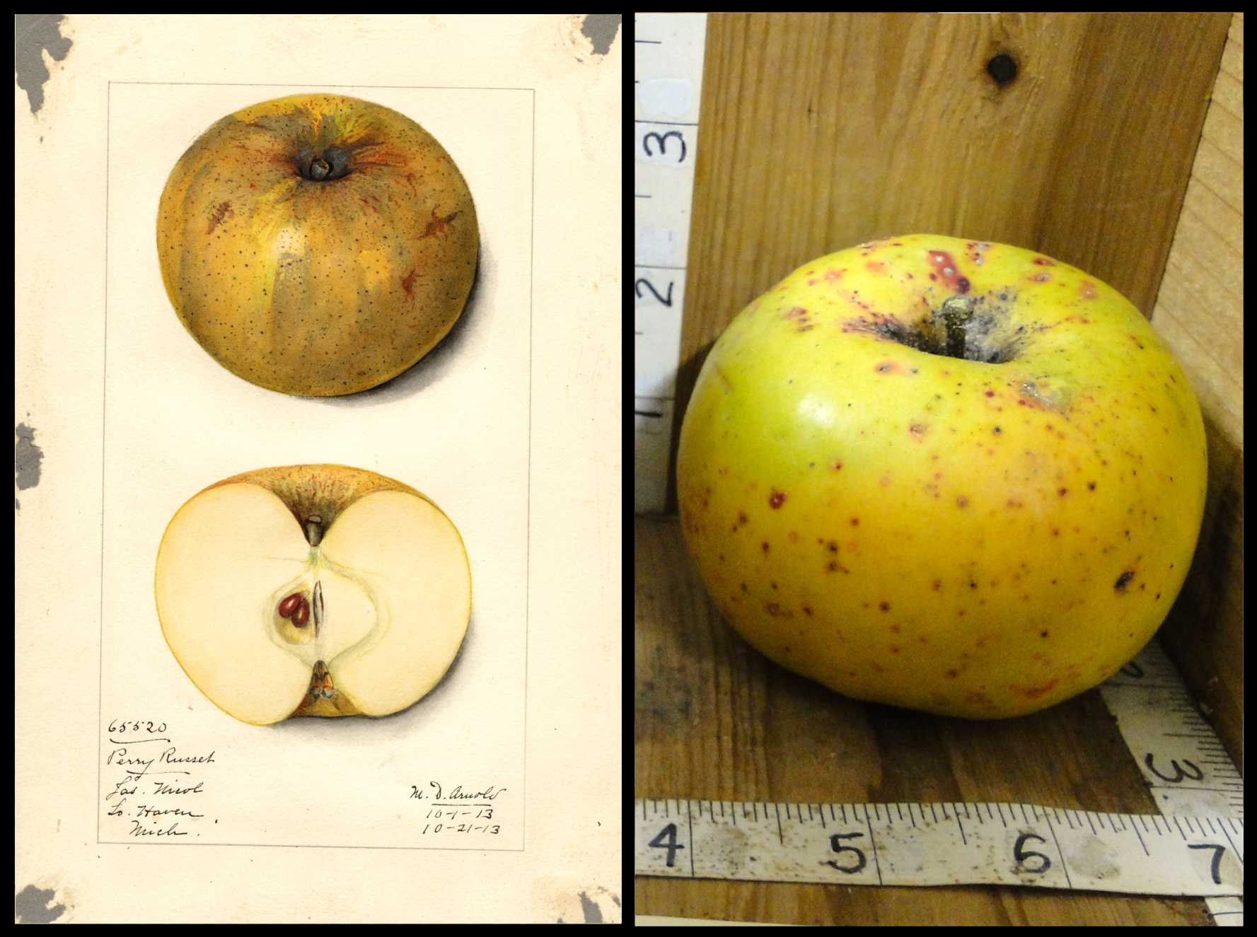 yellow apple covered in medium large red and dark brown spots