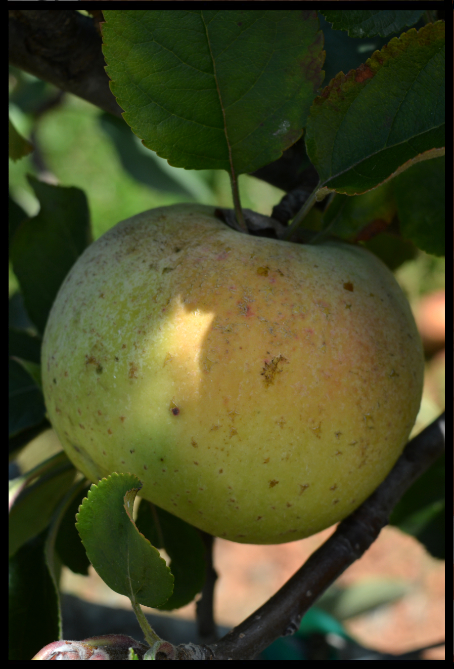 pale yellow apple with faint pink blush