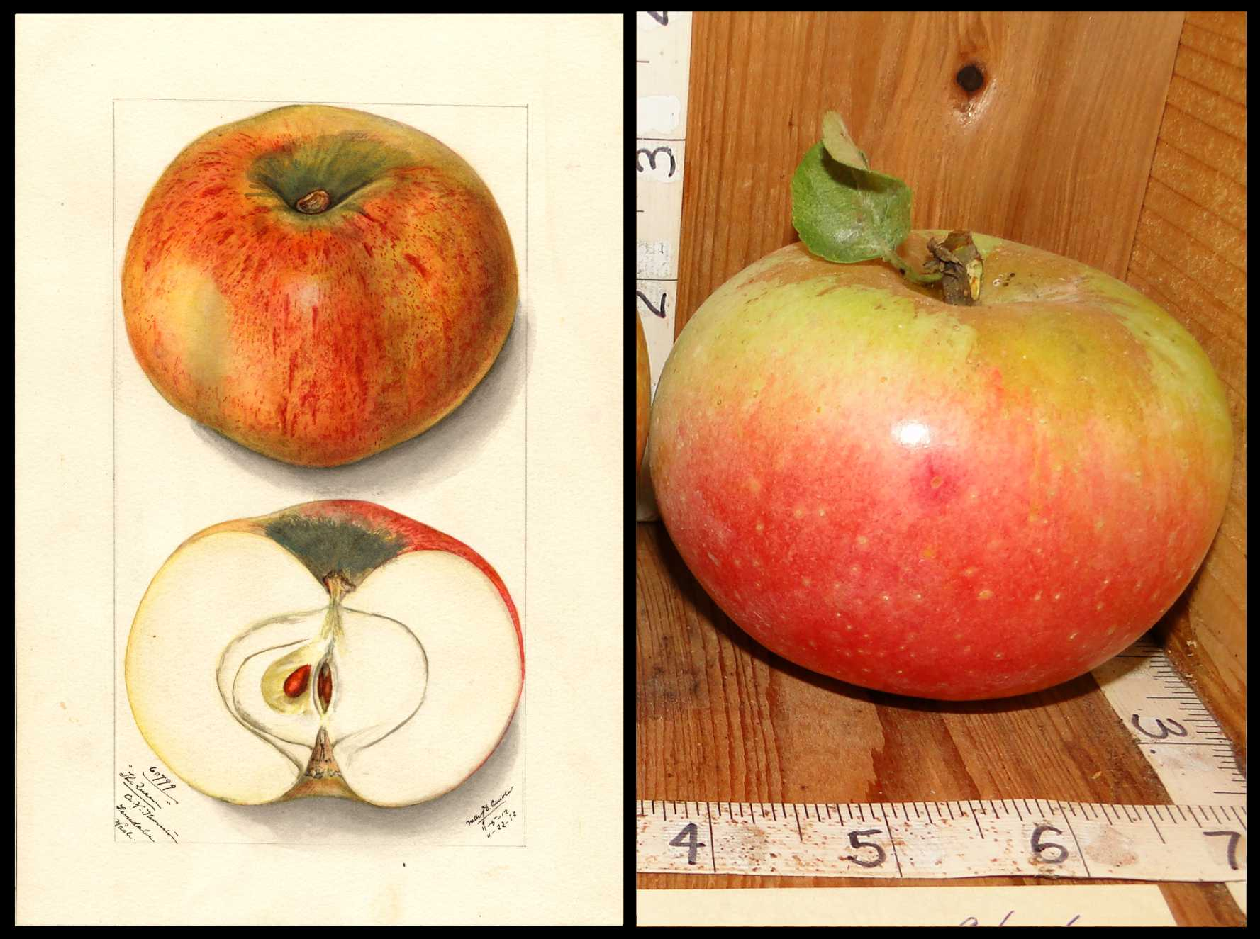 yellow apple with widespread red blush and rough tan skin around the stem