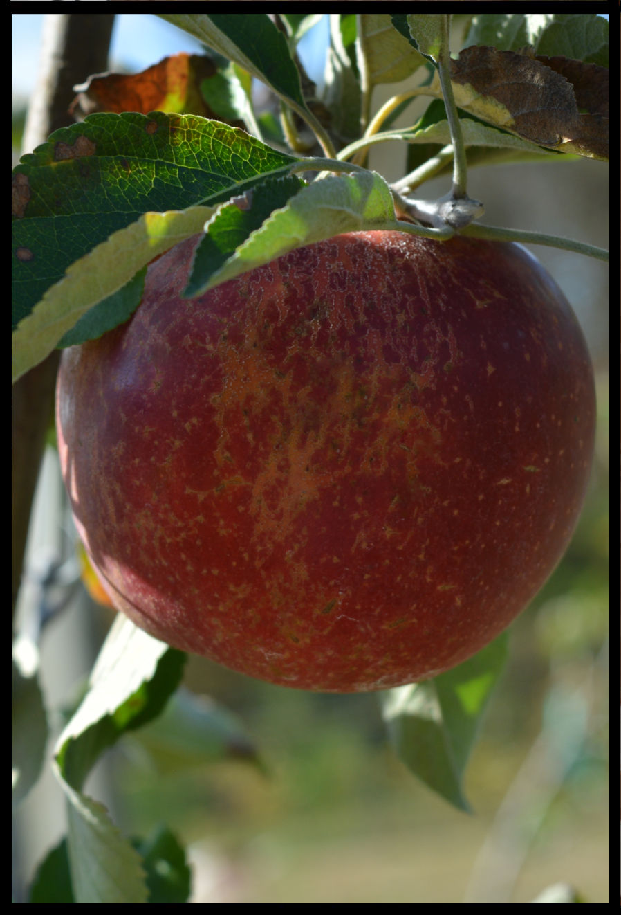 red apple with patches of rough tan skin and small tan dots