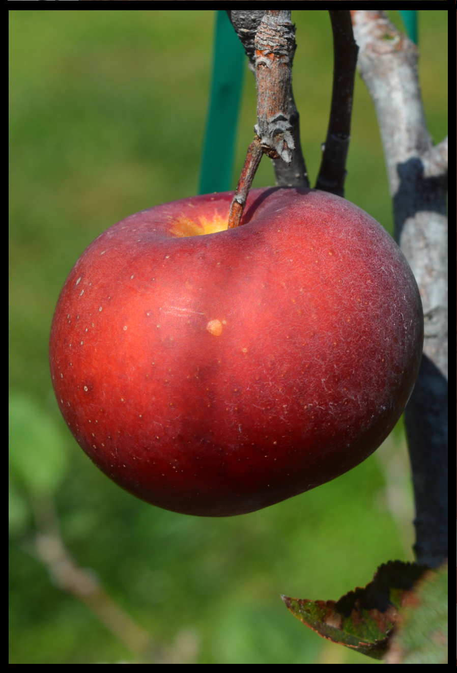 red apple with tiny white dots