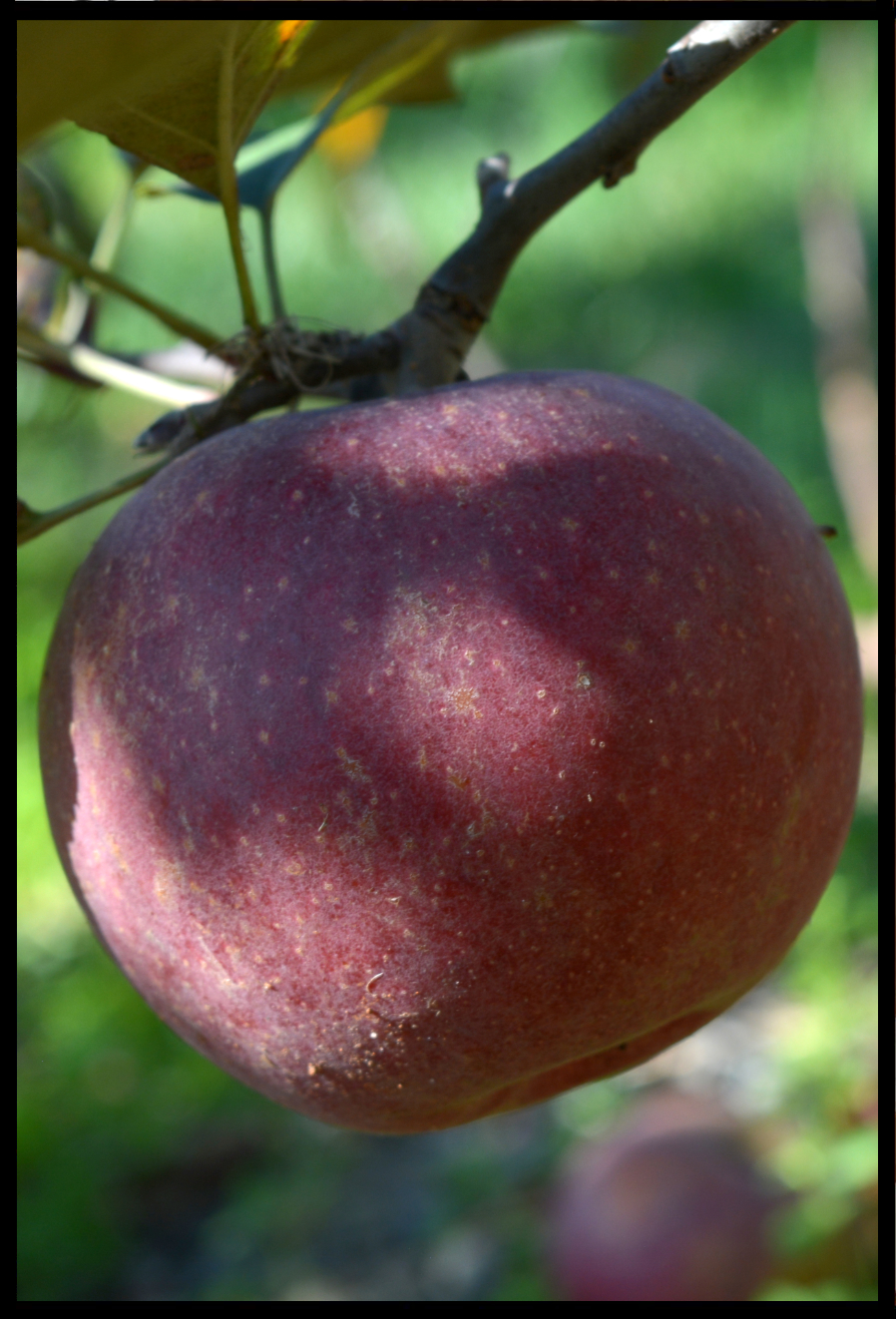 dark red apple with numerous small yellow spots