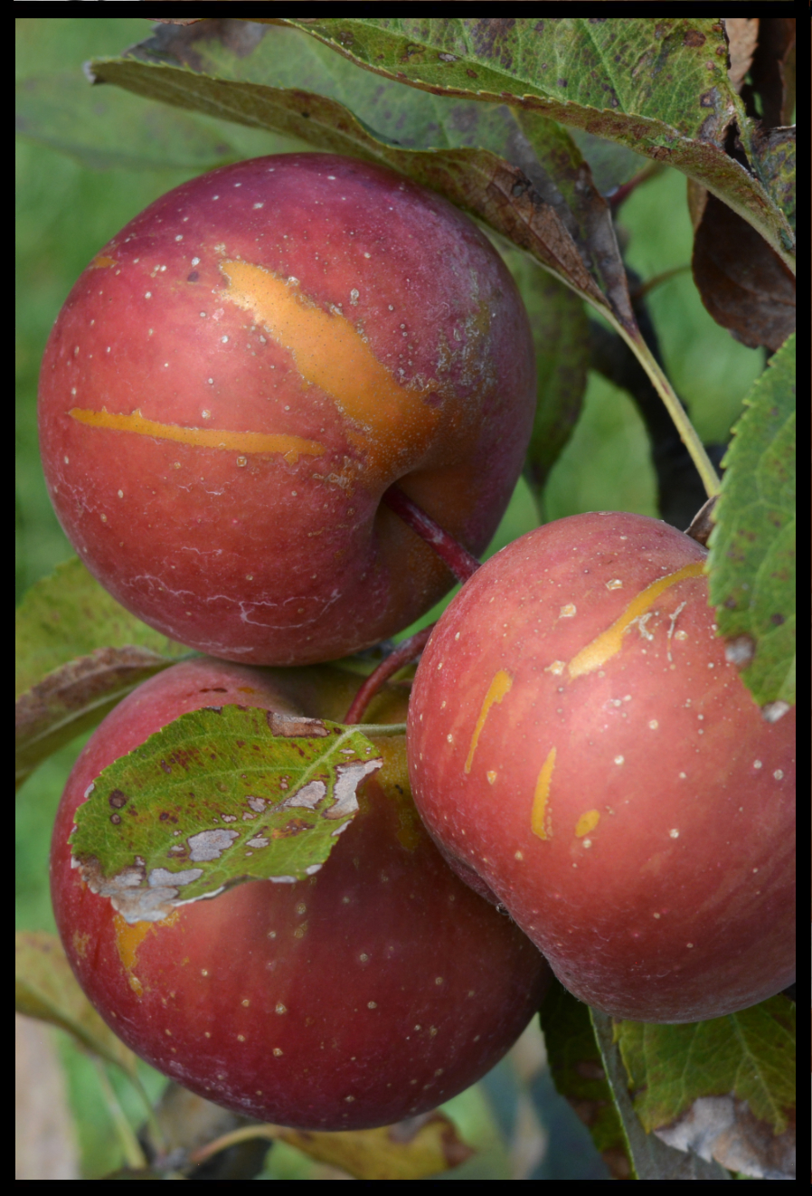 red apple with white spots and streaks of rough tan skin