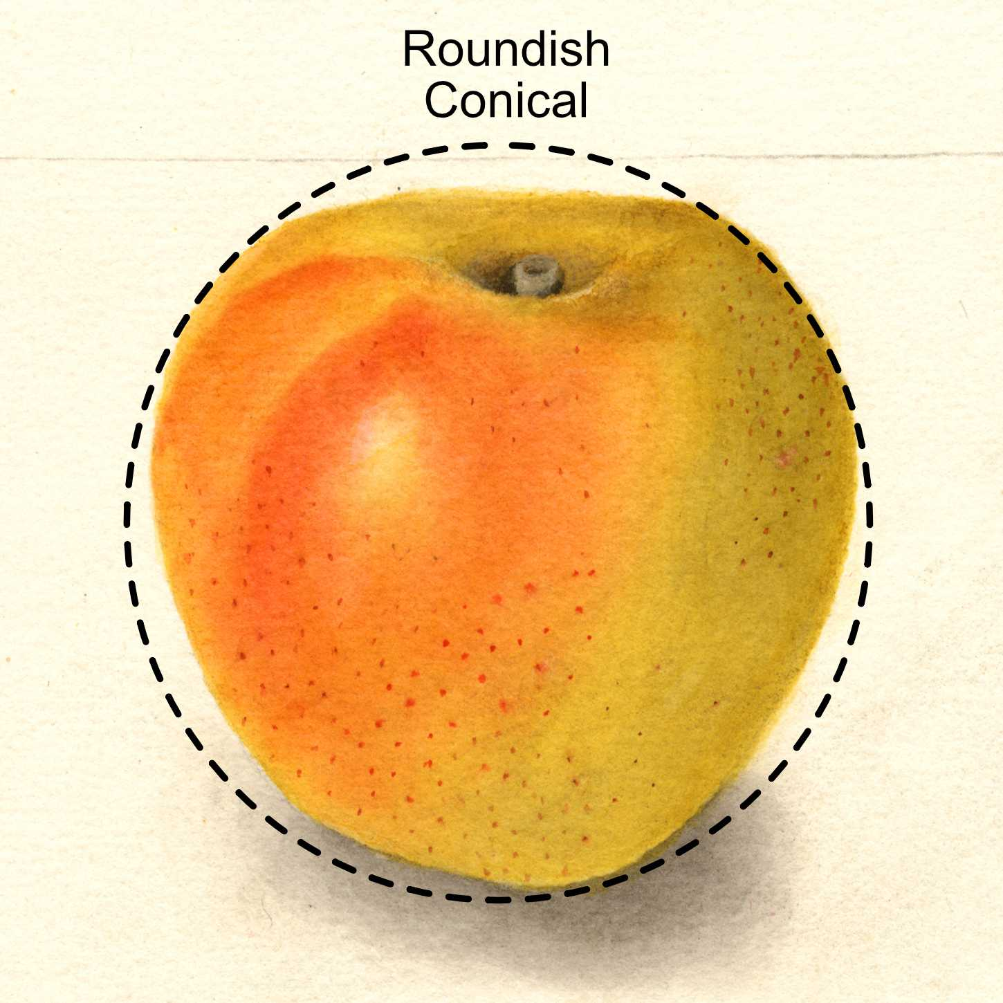 roundish conical apple - appears as a round apple with a tapered end