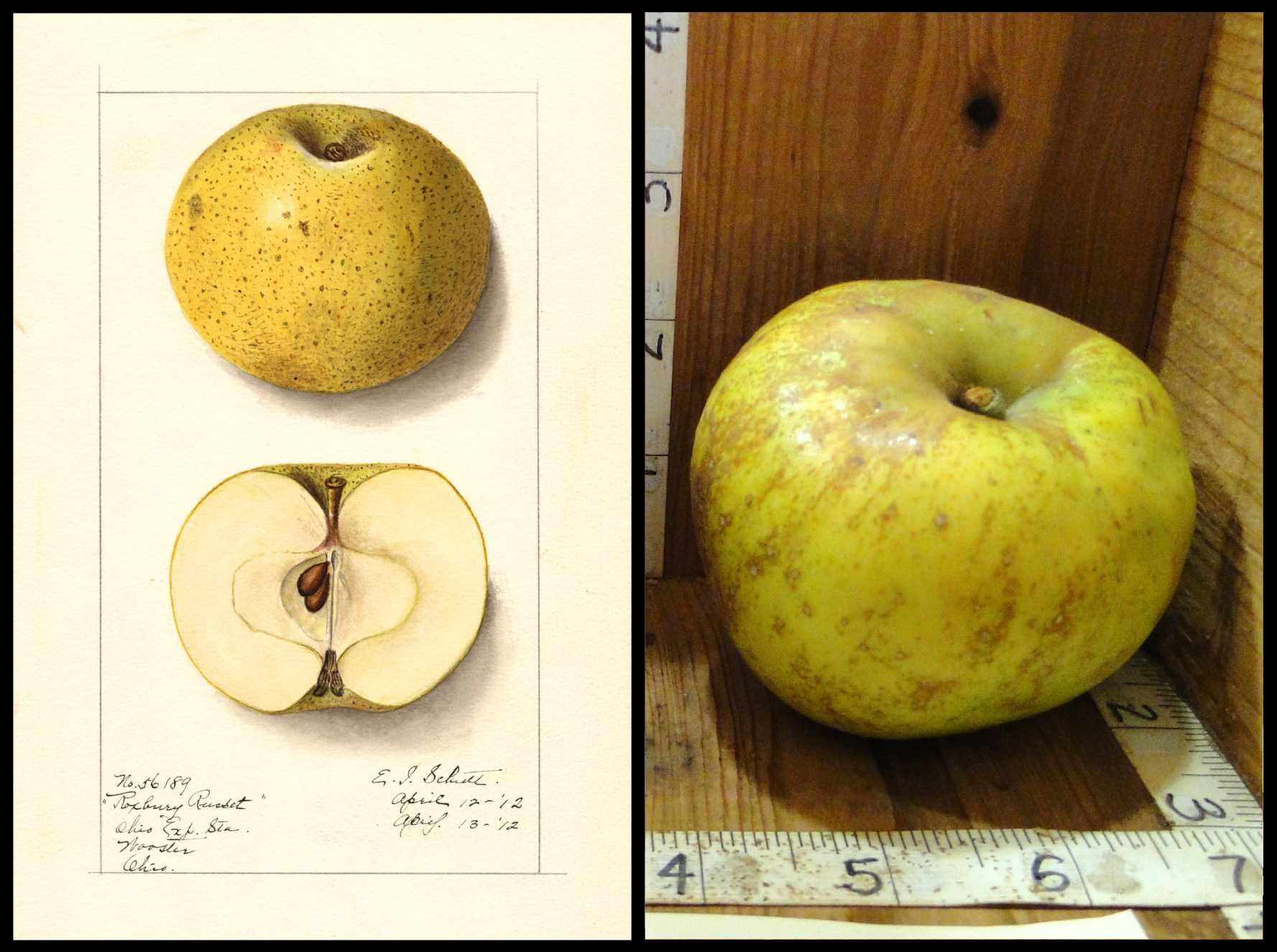 yellow apple with numerous small brown spots