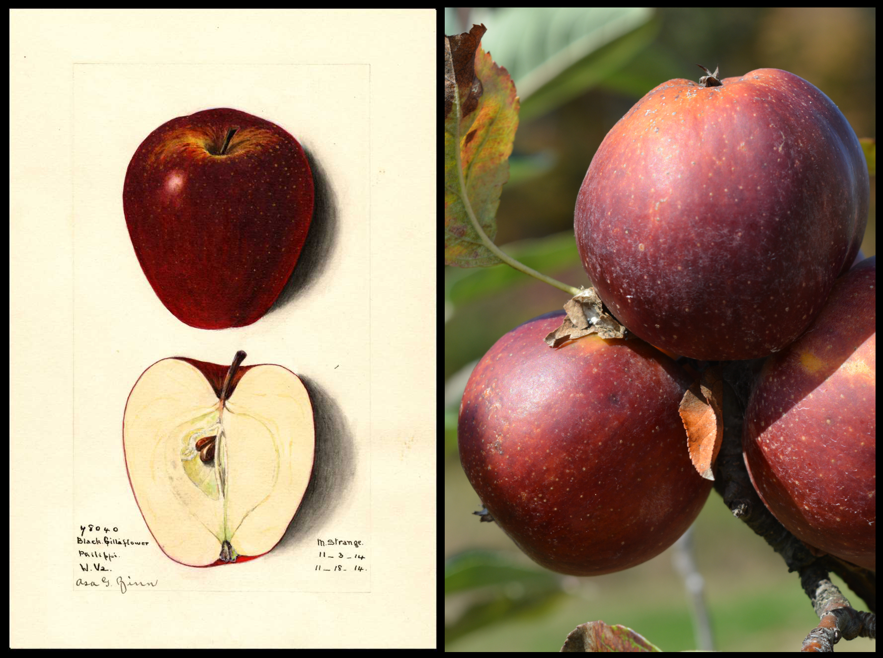 dark red apple with tiny white dots and patches of orange