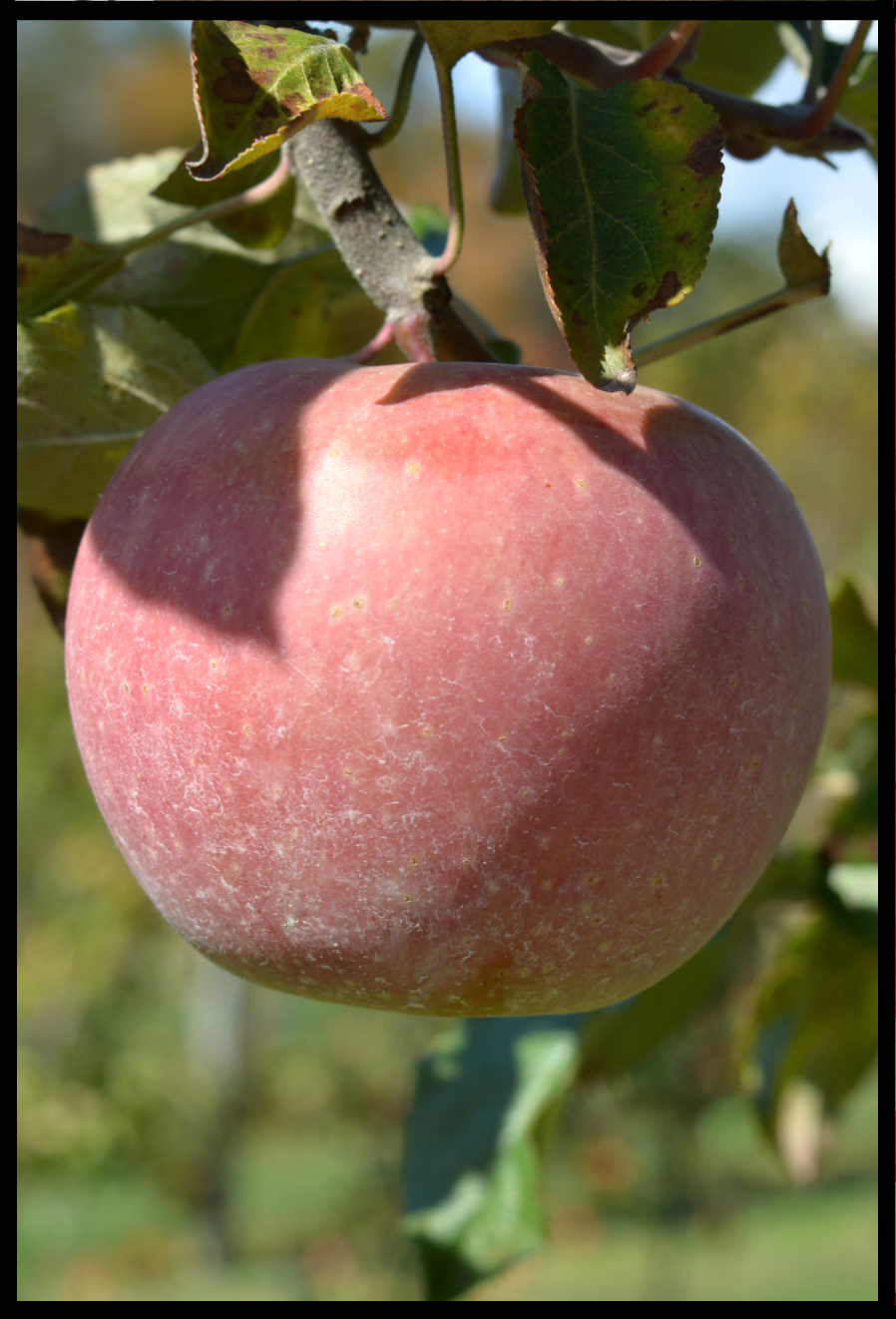 light red apple in a tree