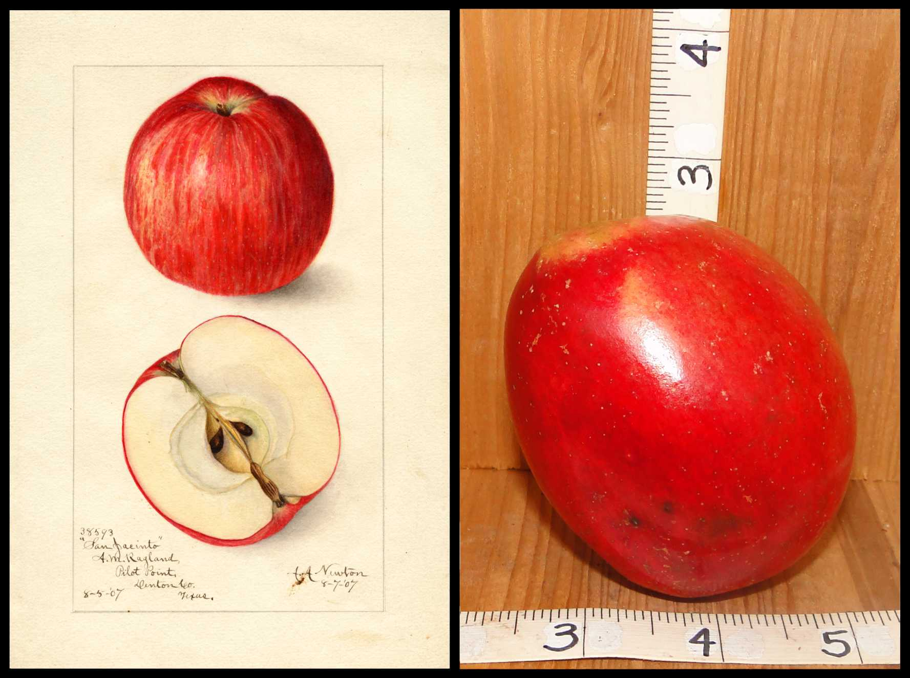 oval shaped shiny red apple