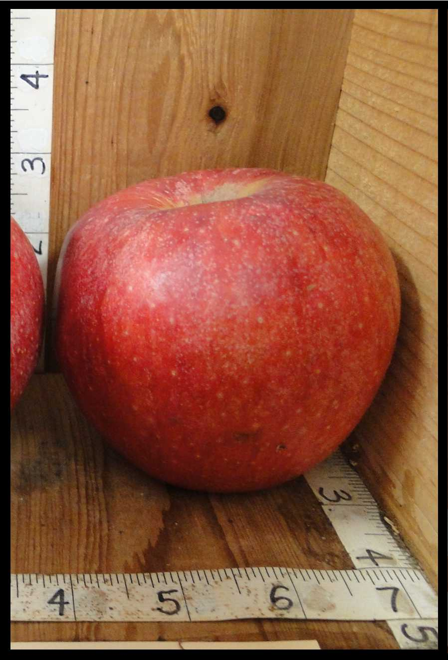 apple with rough red skin and numerous tiny yellow dots