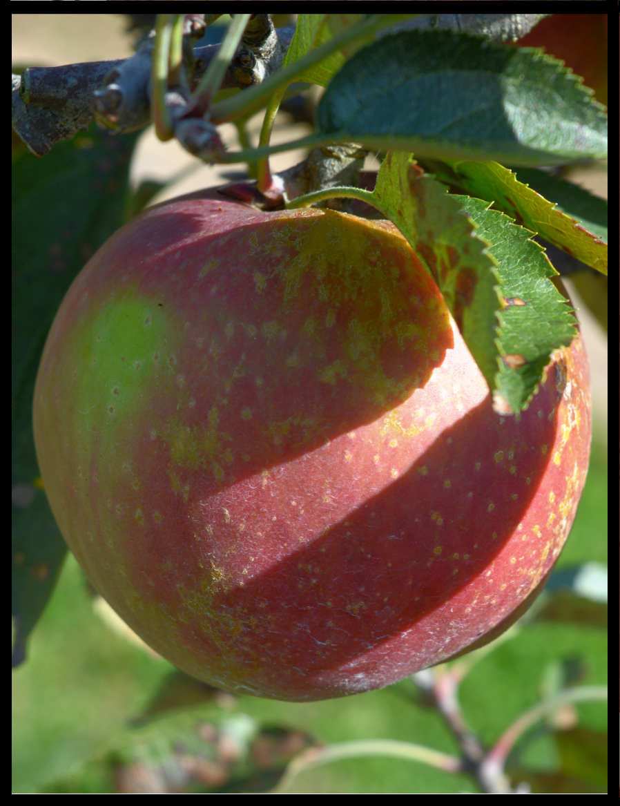 green apple with pink spotty blush