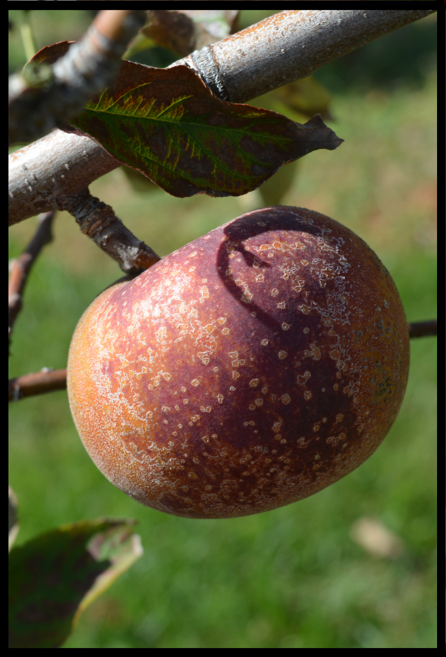 dark red apple nearly covered with rough brown spots and patches