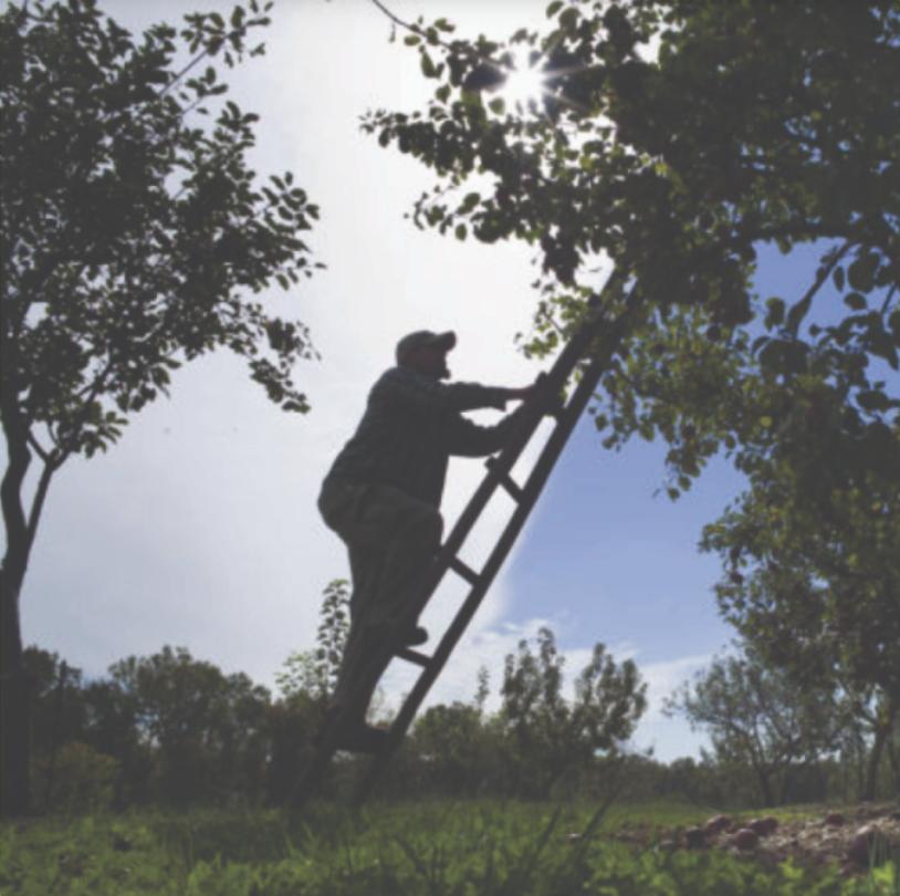 a man climbing a ladder into an apple tree