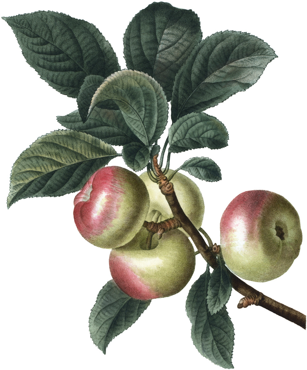 yellow apples with red blush. Apples are attached to a stem with green leaves
