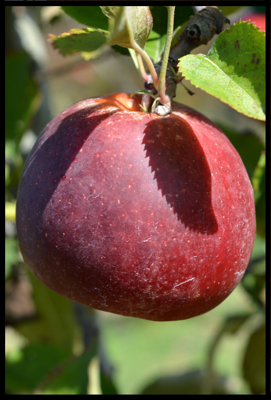 dark red apple that is wider at the bottom than at the top