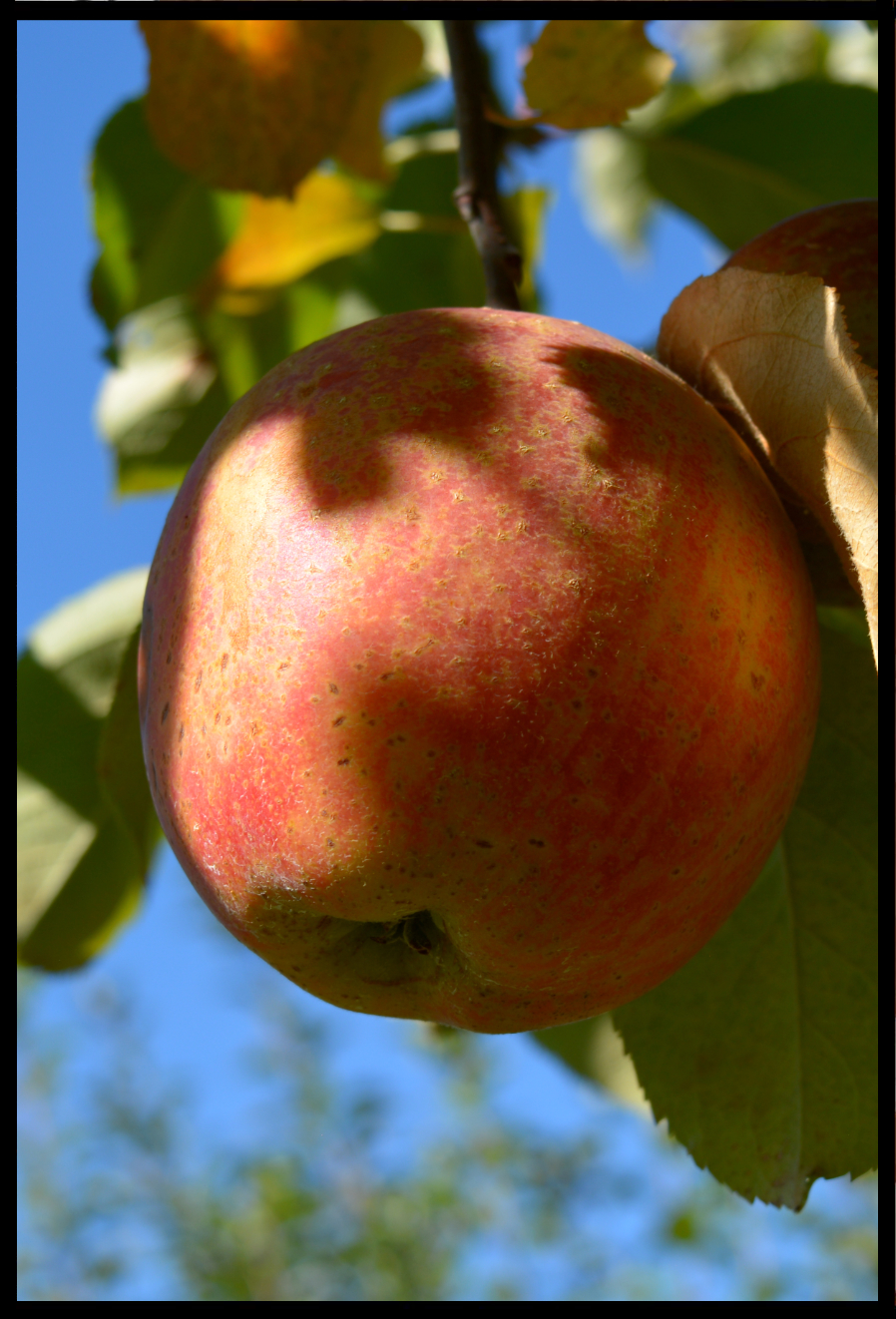yellow and light red mottled apple with numerous medium sized brown spots