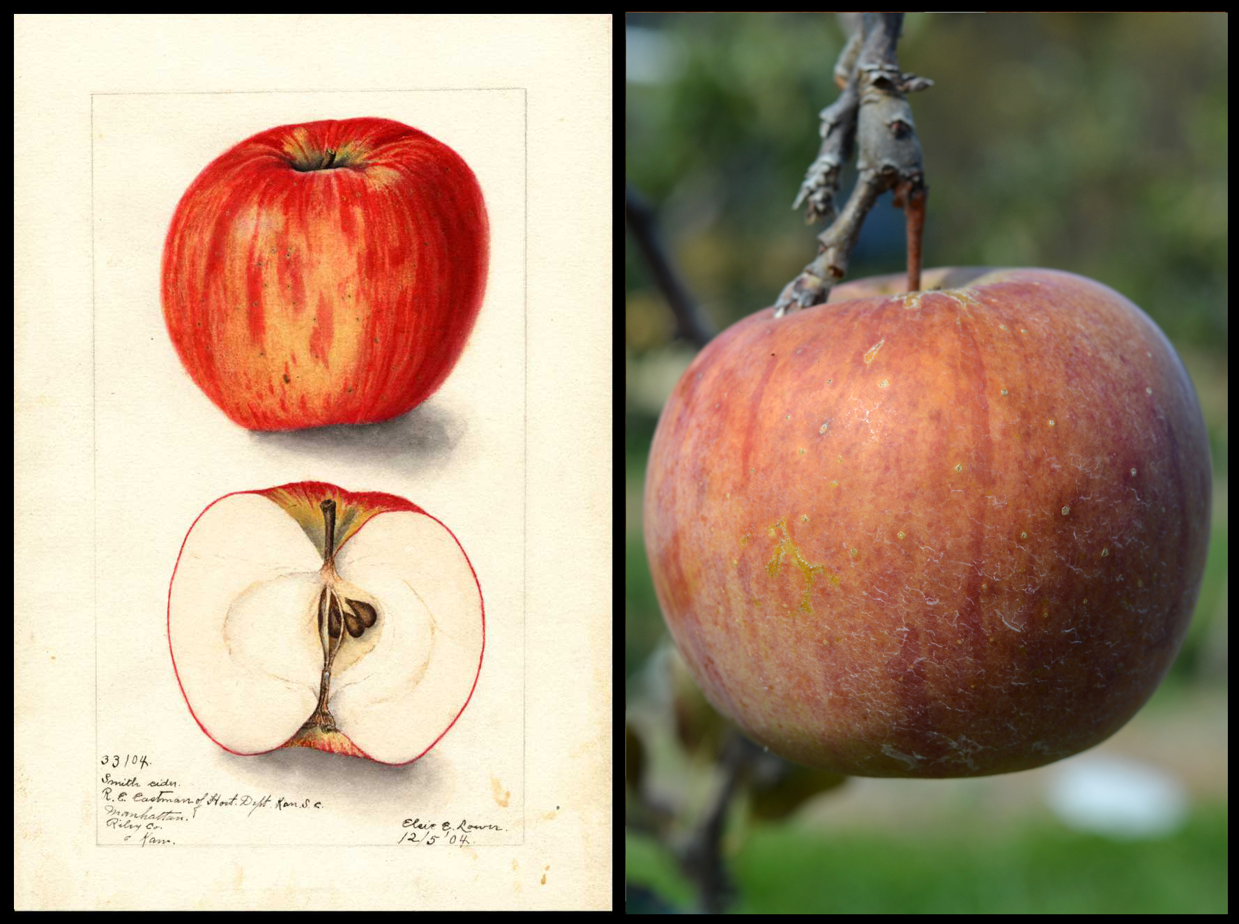 mottled red and yellow apple giving it an orangish appearance