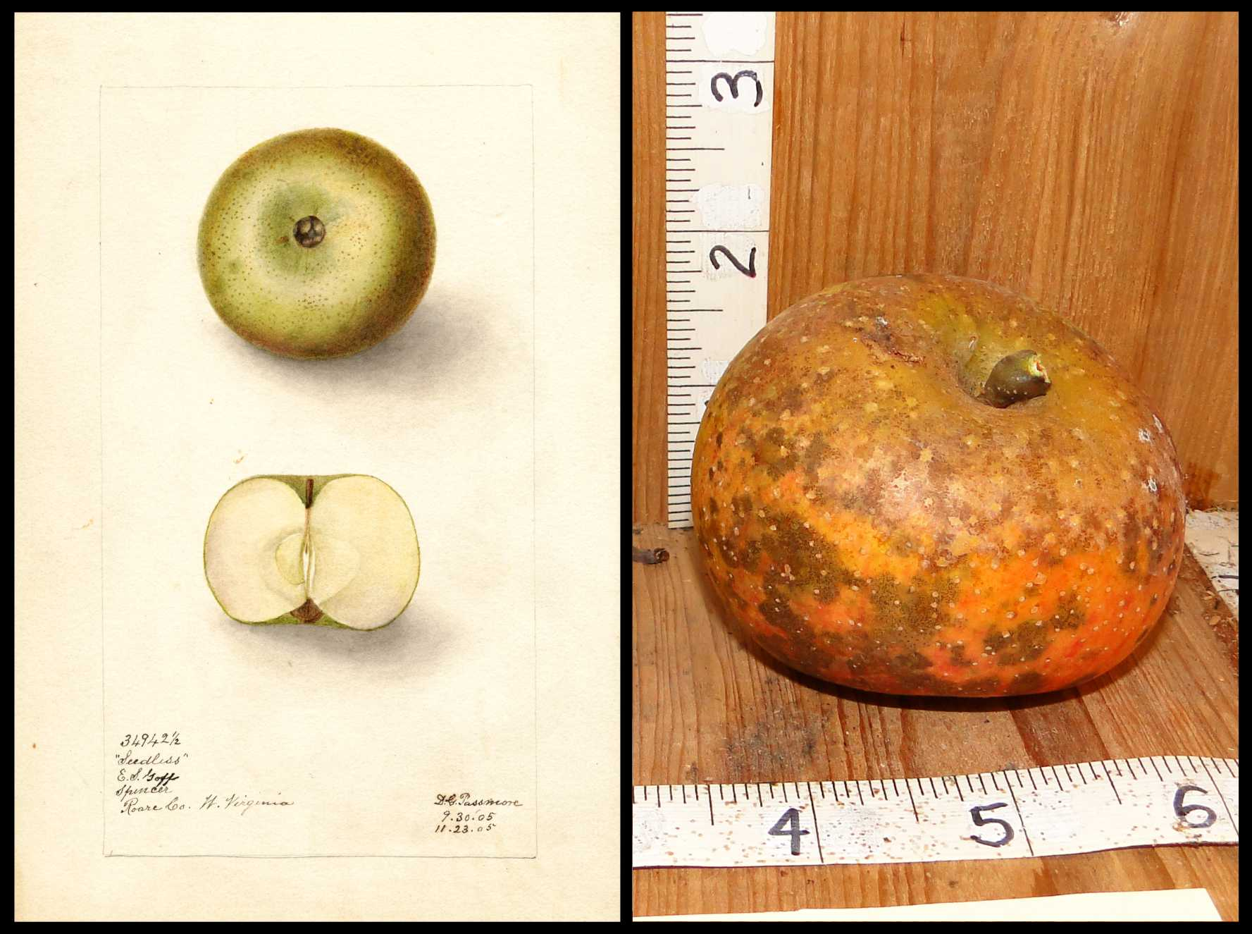 apple with very mottled skin showing patches of yellow green orange and red with some spots of rough tan skin