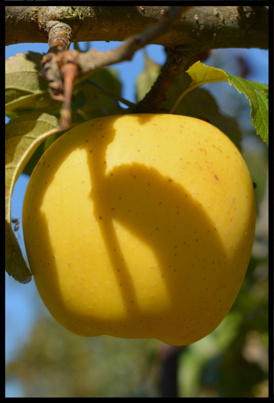 yellow apple with small brown dots