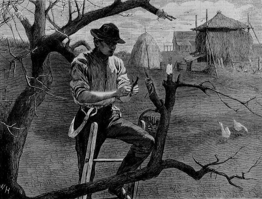 black and white drawing of a man grafting scions on a tree